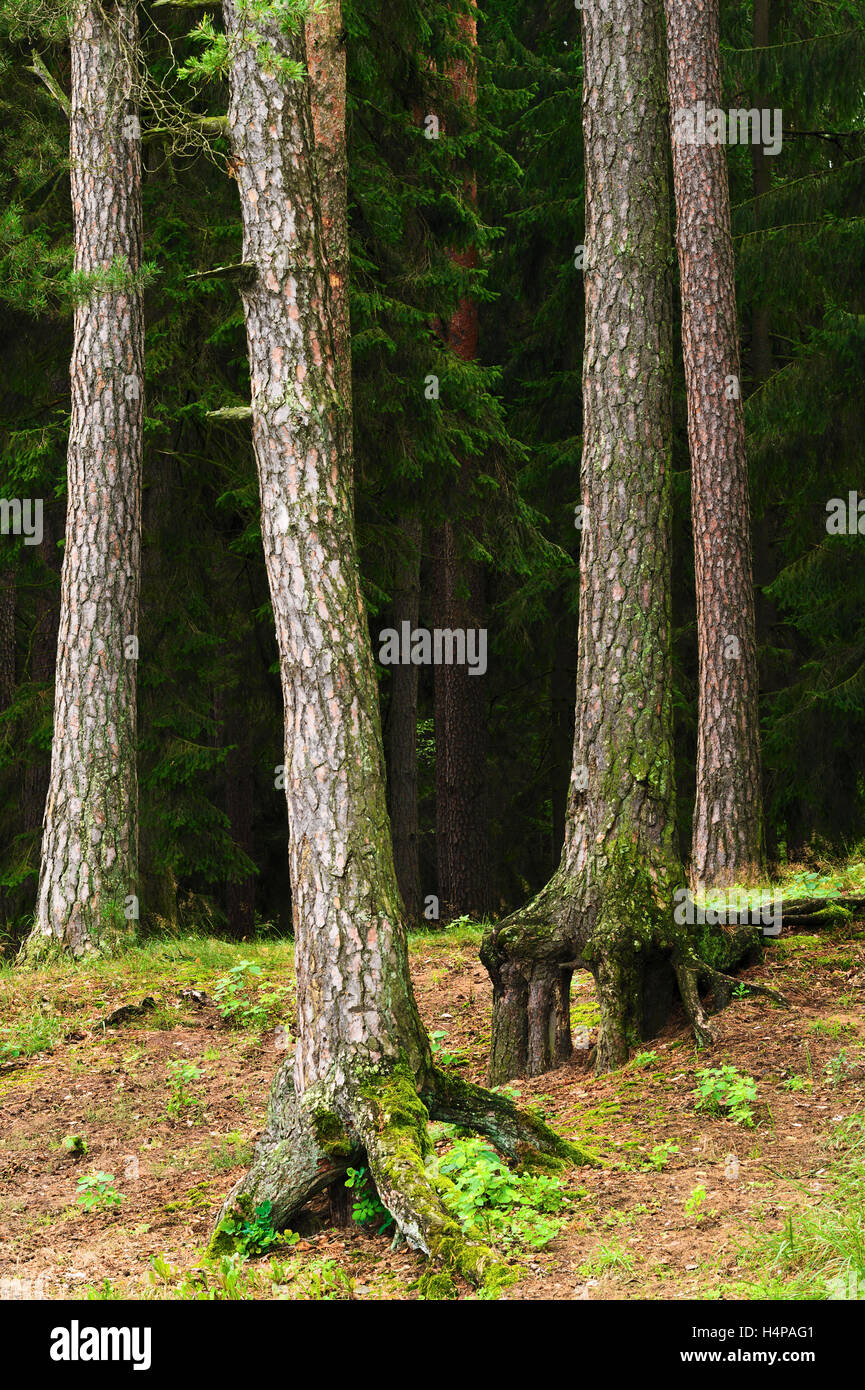 Coniferous evergreen wood with pine tree trunks on the foreground and spruces on the background. Podlaskie province, - Stock Image