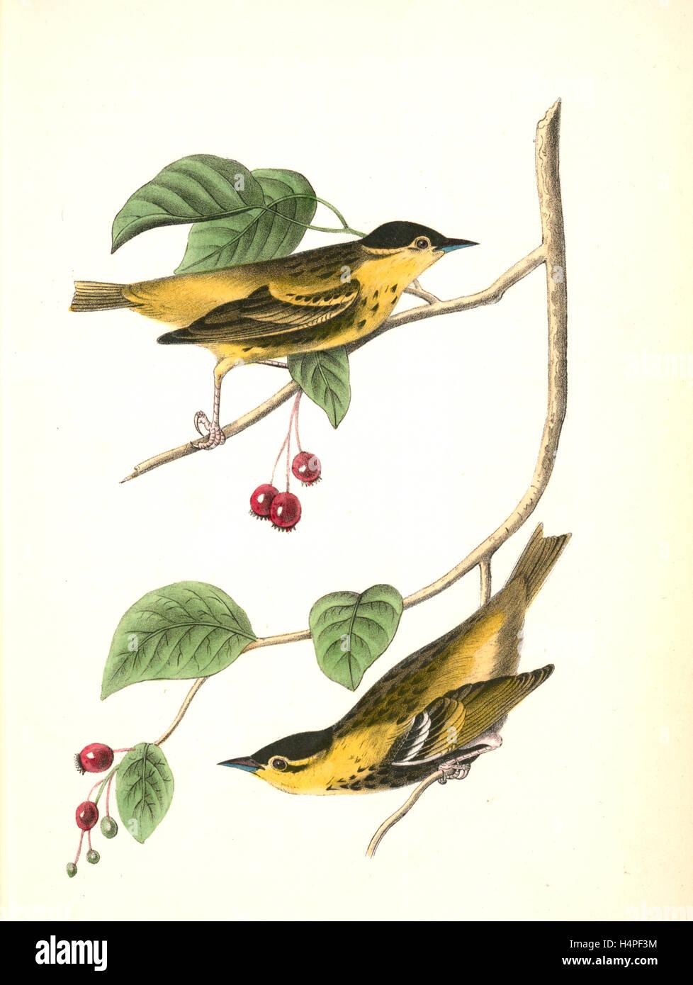 Carbonated Swamp-Warbler. Males. (May-bush or Service. Pyrus Botryapium.), Audubon, John James, 1785-1851 - Stock Image