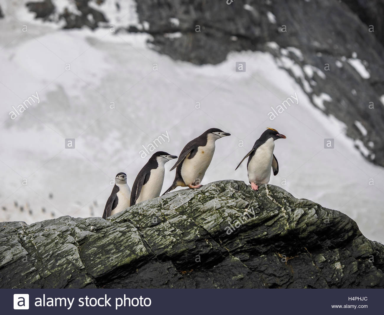 A trio of chinstrap penguins and single macaroni penguin on a rock outcrop. - Stock Image