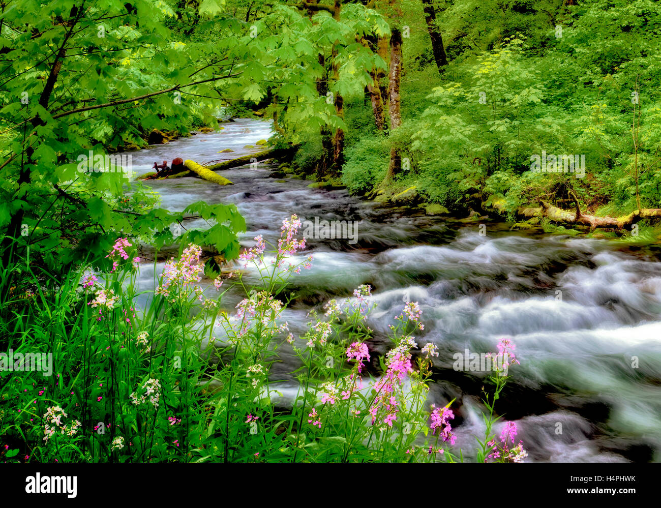Tanner Creek and Dames Rocket wildflowers. Columbia River Gorge National Scenic Area, Oregon - Stock Image