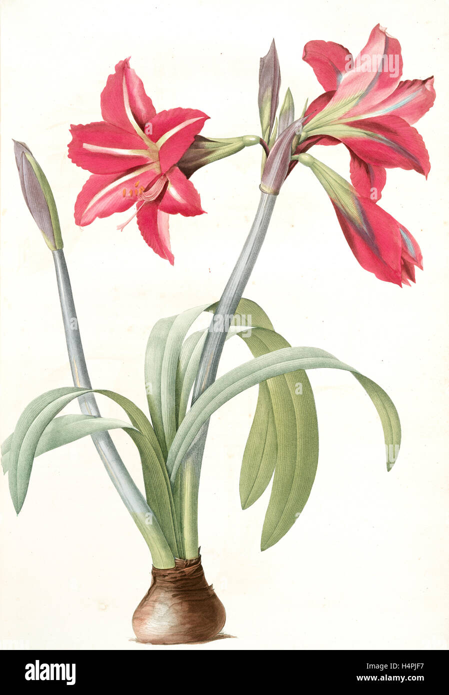 Amaryllis brasiliensis, Hippeastrum equestre; Amaryllis brèsilienne; Barbados Lily, Redouté, Pierre Joseph, - Stock Image