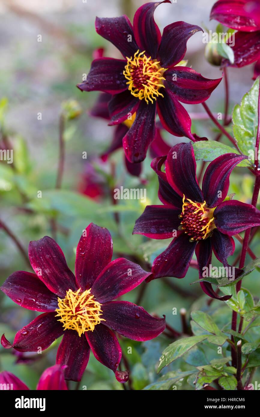 Striped dark and light red flowers of the single Dahlia 'Dark Desire' - Stock Image