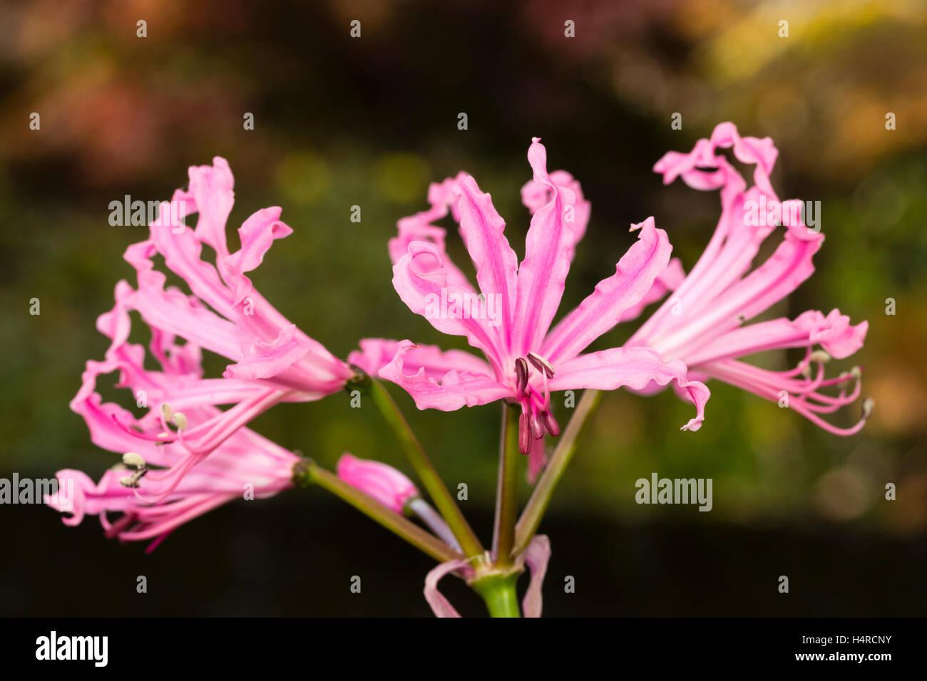 Undulate pink petals and strong growth distinguish the autumn stock undulate pink petals and strong growth distinguish the autumn flowering bulb nerine bowdenii mark fenwick fenwicks variety mightylinksfo