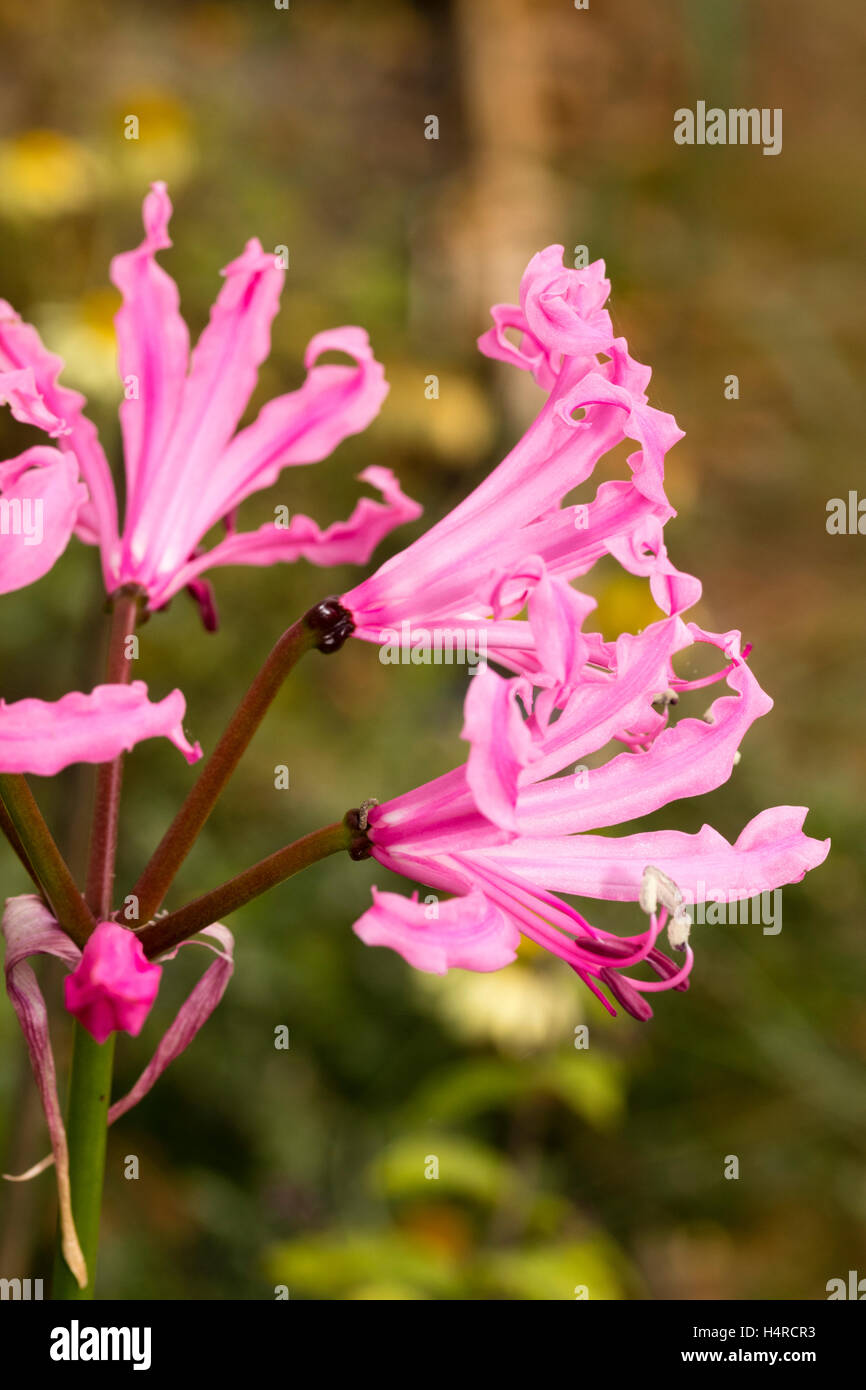 Undulate pink petals and strong growth distinguish the Autumn flowering bulb, Nerine bowdenii 'Mark Fenwick' - Stock Image