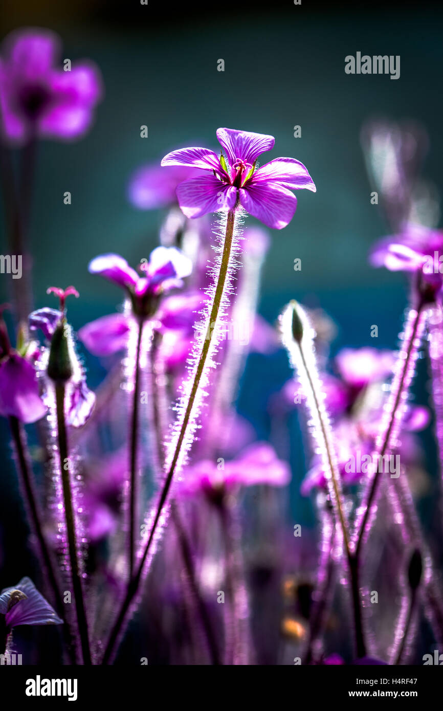 Close up of fuzzy purple flower stock photo 123447975 alamy close up of fuzzy purple flower mightylinksfo