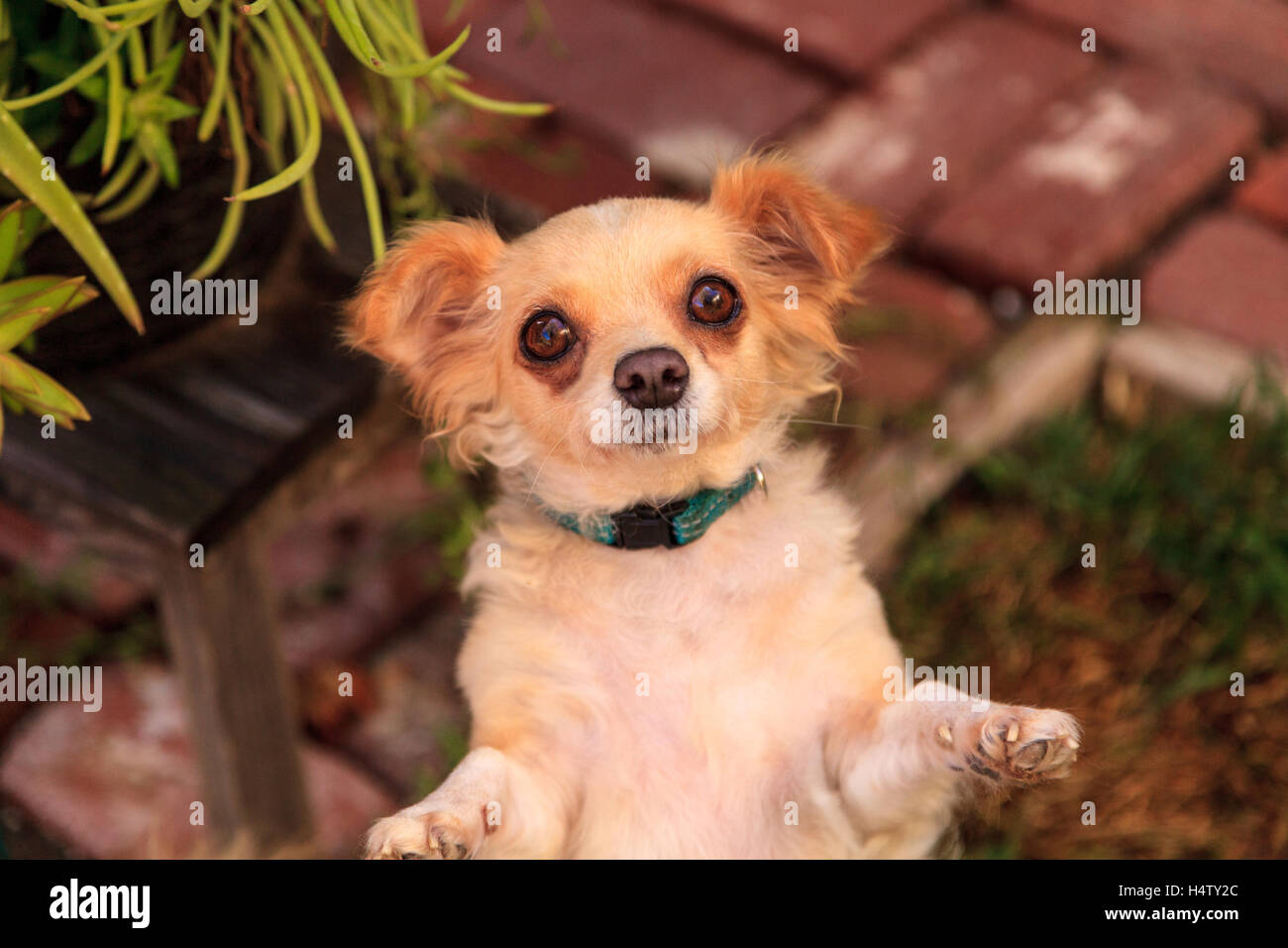 Small Blond Long Haired Chihuahua Mixed Breed Dog With Big Eyes Begs