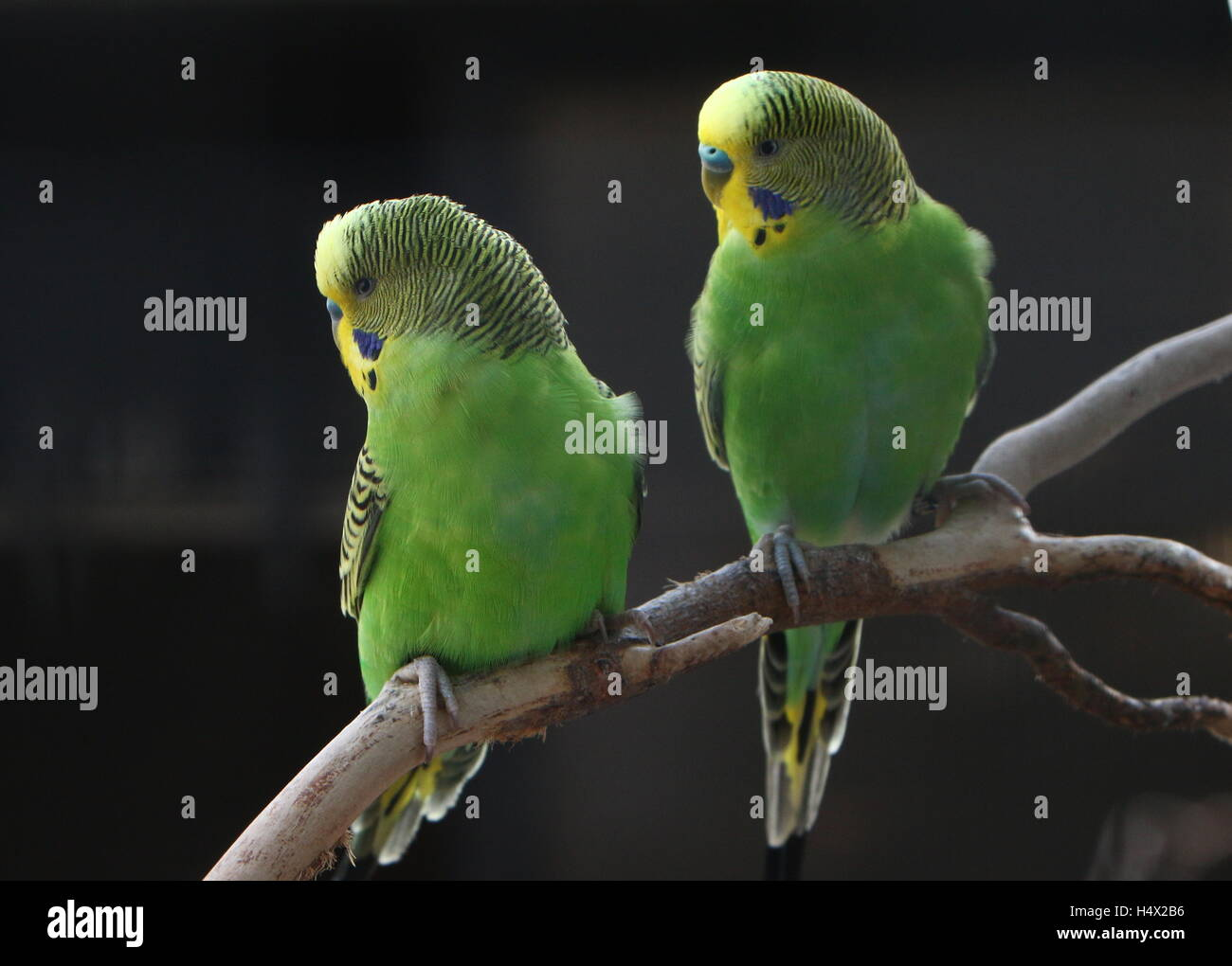 Pair of male Australian Budgerigar Parakeets (Melopsittacus undulatus) Stock Photo