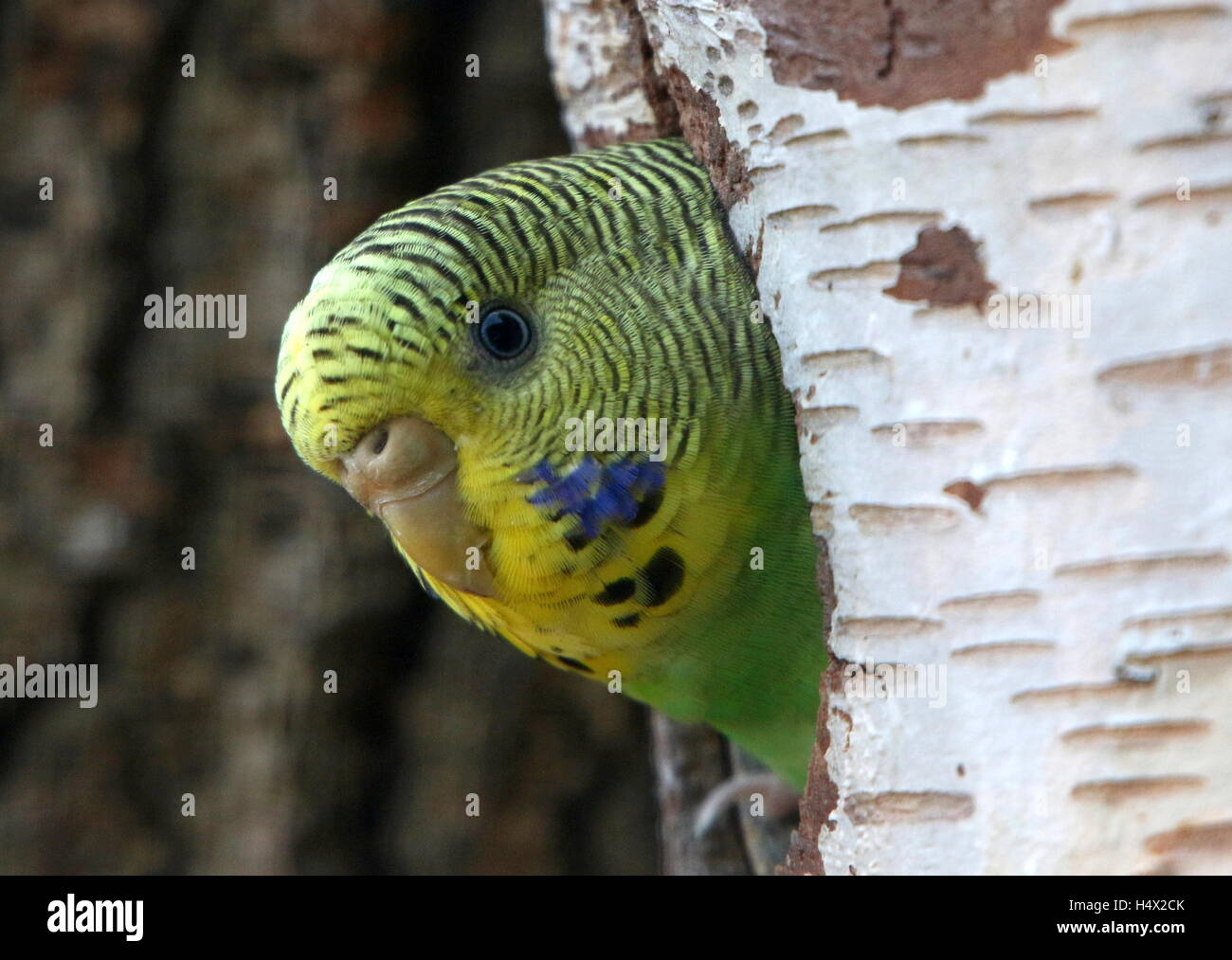 Female Australian Budgerigar Parakeet (Melopsittacus undulatus)  peeping from a hole in a tree - Stock Image
