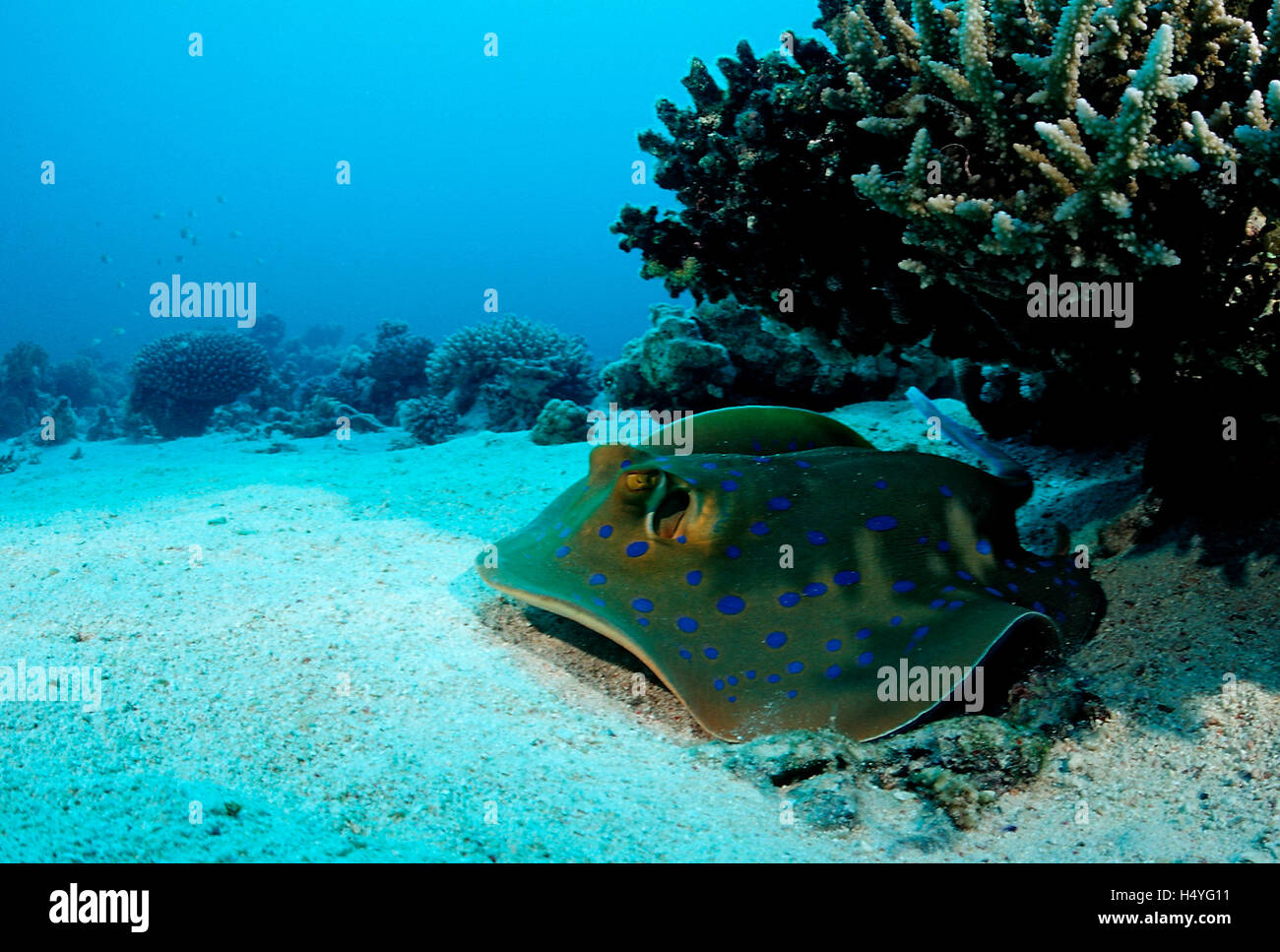 Blue-spotted stingray (Taeniura lymma) under a table coral, Nuweiba, Sinai, Red Sea, Egypt, Africa Stock Photo