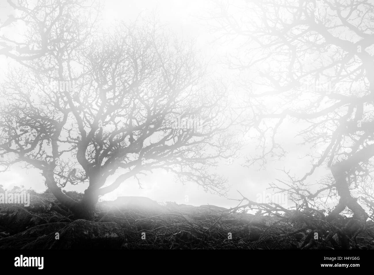 Ancient oaks in the fog in Wistmans Wood, Dartmoor National Park, Devon, United Kingdom, monochrome Stock Photo