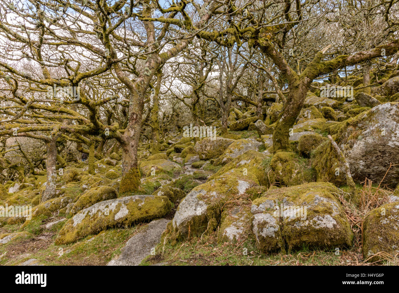 Ancient oaks in Wistmans Wood, Dartmoor National Park, Devon, Great Britain Stock Photo