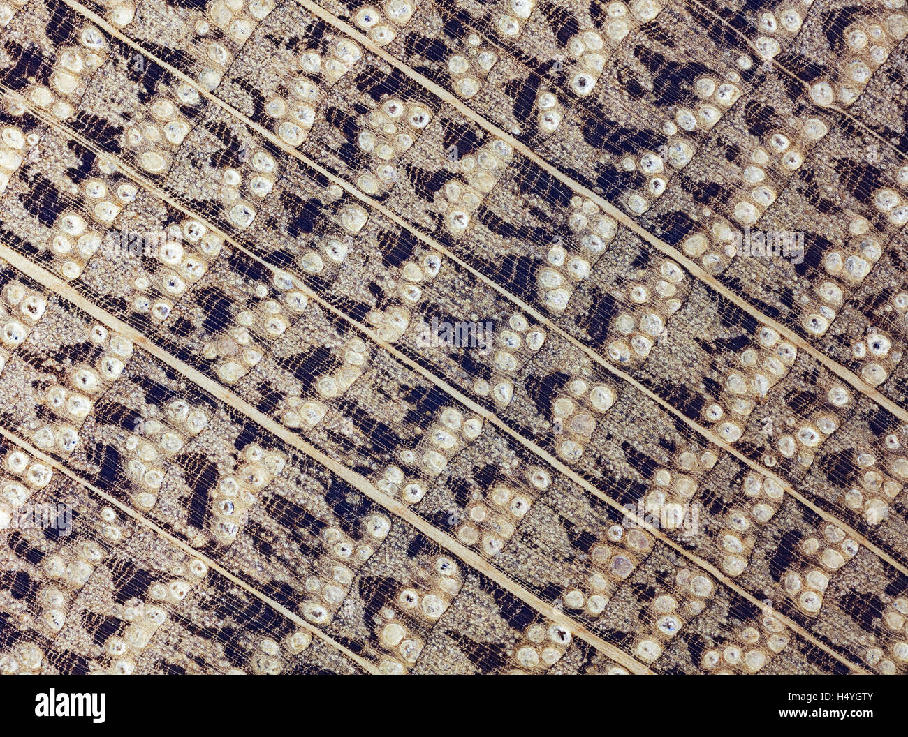 Oak, oak wood, polished, cross section of the trunk, photomicrograph, doubled in size, incident light - Stock Image