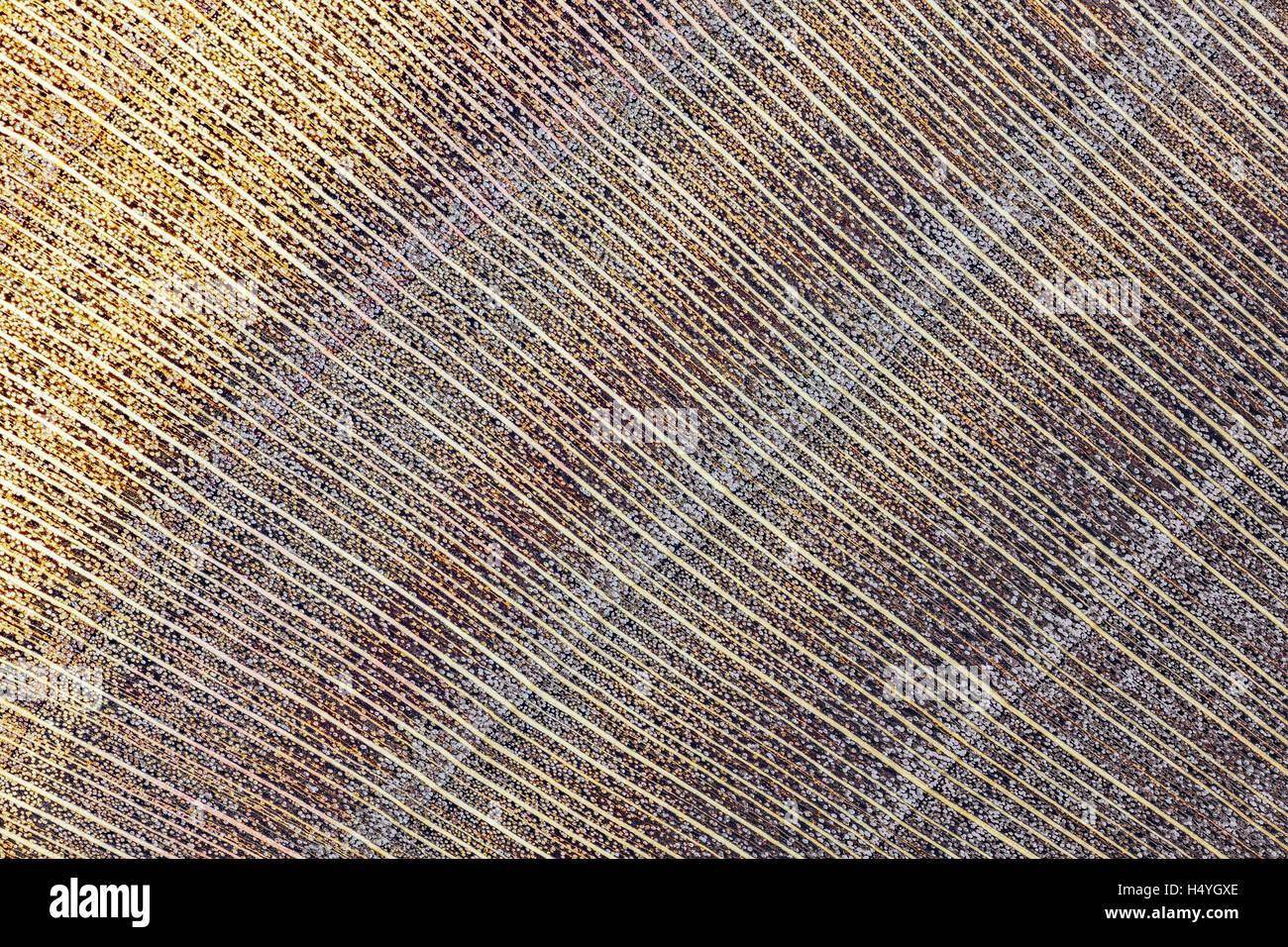 Apple, apple wood, polished, cross section of the trunk, photomicrograph, doubled in size - Stock Image