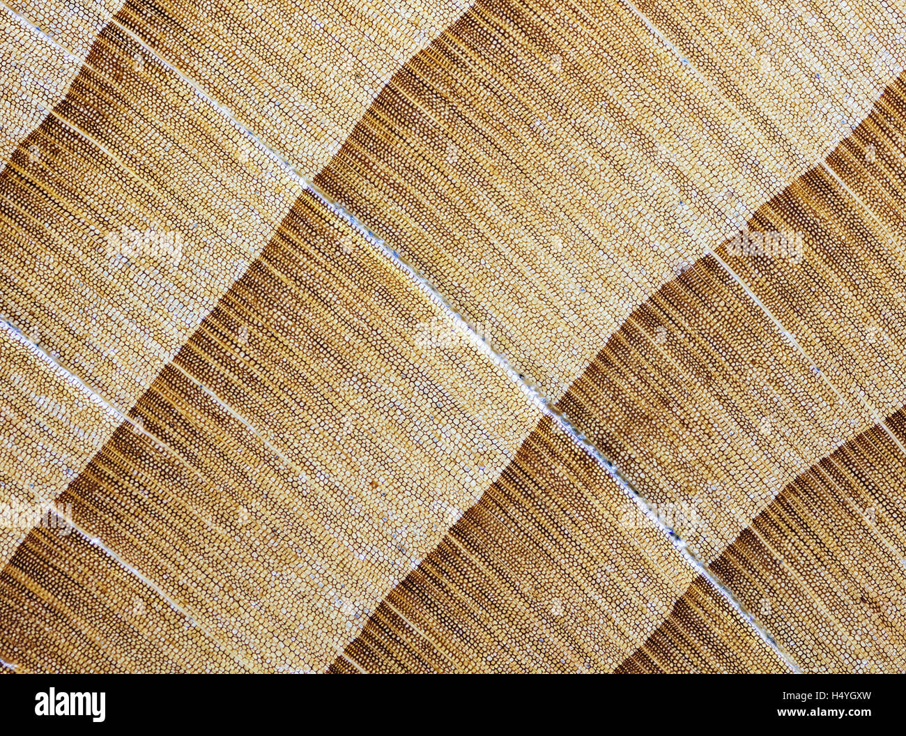 Yew, yew wood, polished, cross section of the trunk, photomicrograph, five times larger - Stock Image