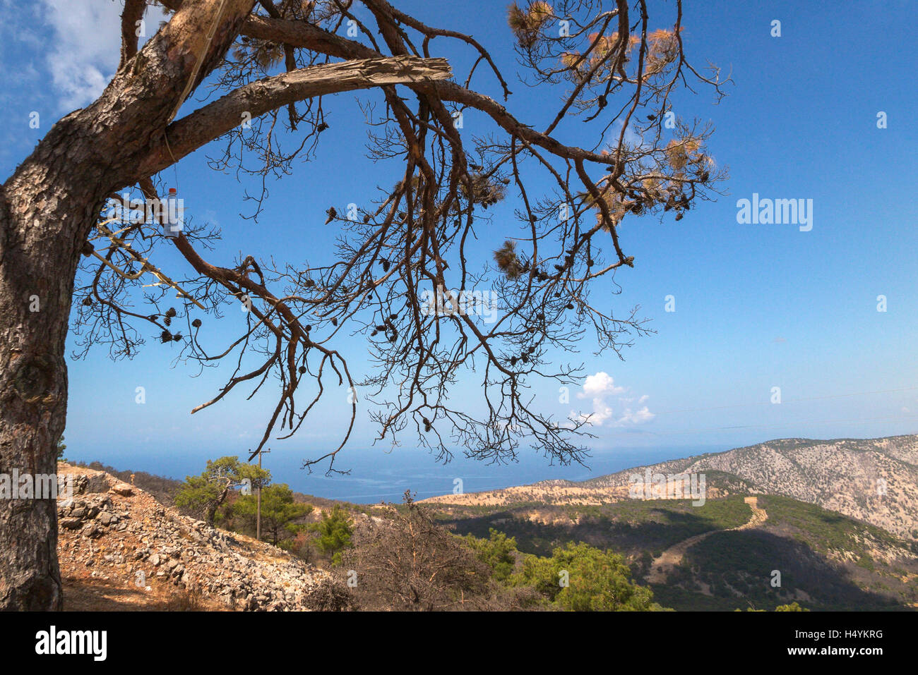 Burned trees after the great forest fire of 2012 Chios Island Greece - Stock Image