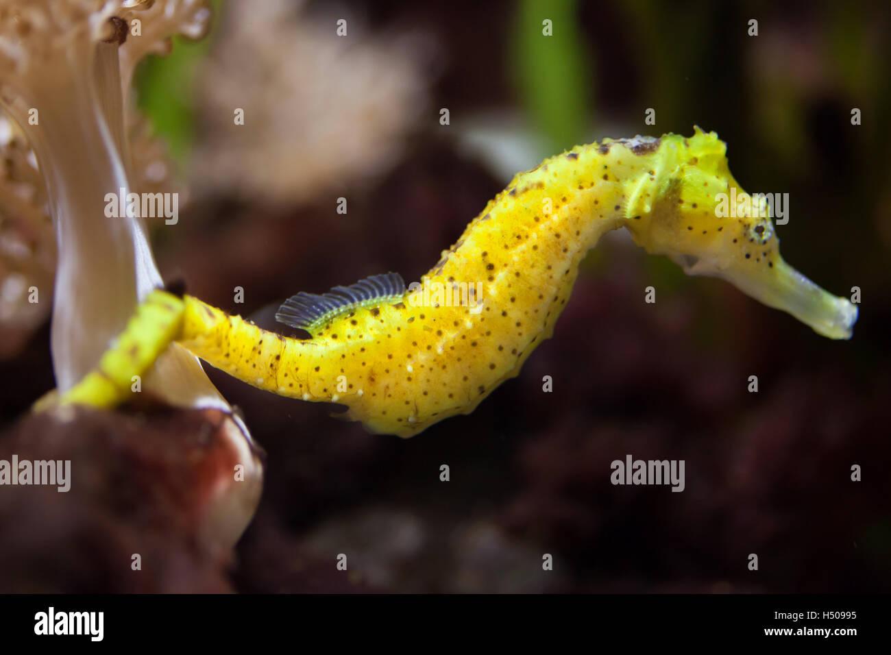 Slender seahorse (Hippocampus reidi), also known as the longsnout seahorse. Wildlife animal. - Stock Image