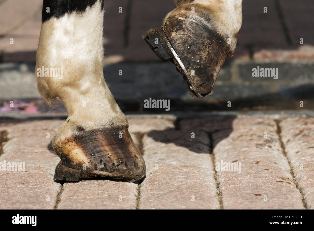 Horse's hooves on the cobbled road - Stock Image