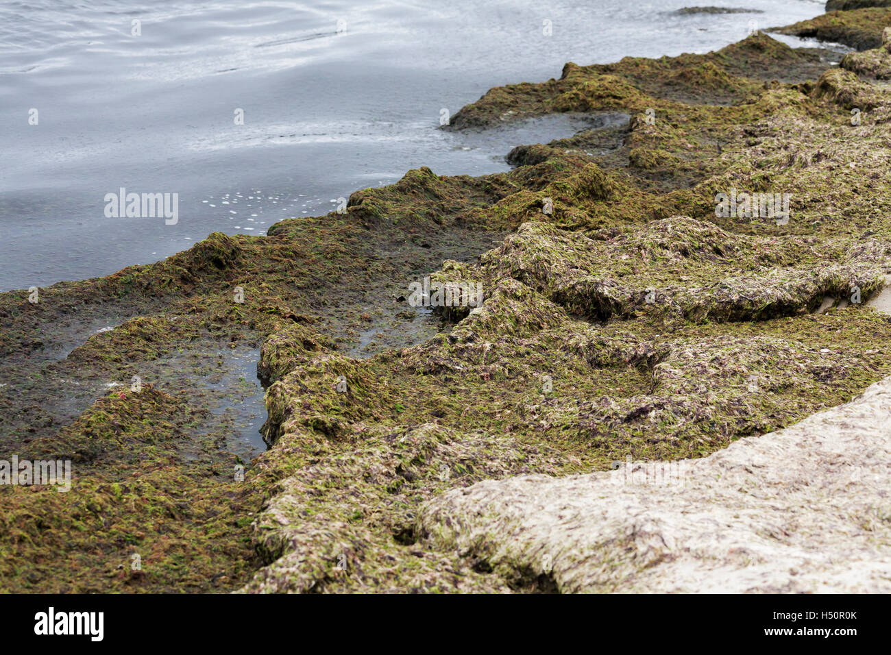 Rotting seaweed by the sea - Stock Image