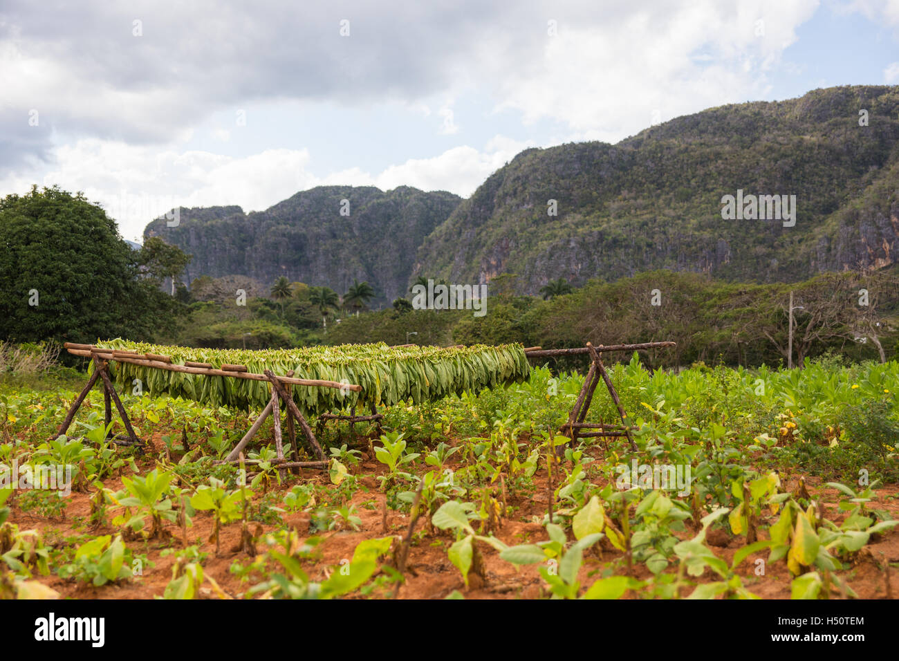 tobacco leaves drying in the fields outside Vinales - Stock Image