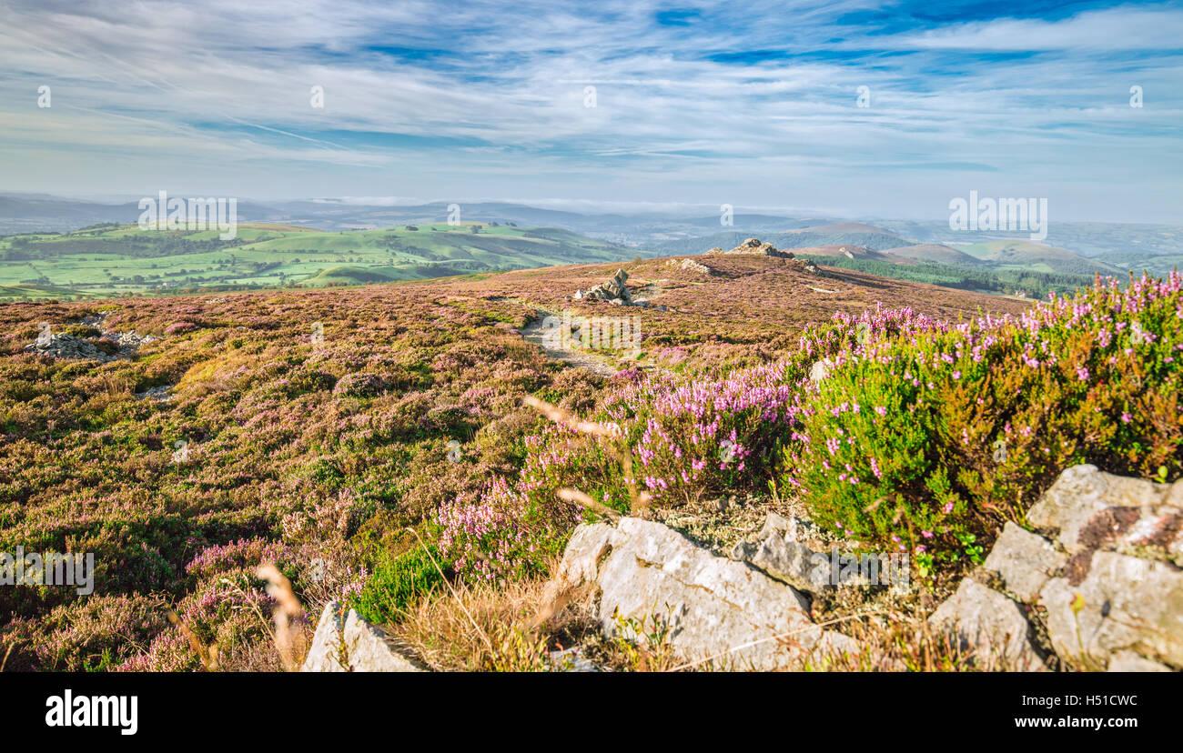 Blooming Heather Flowers Hills in Stiperstones UK - Stock Image