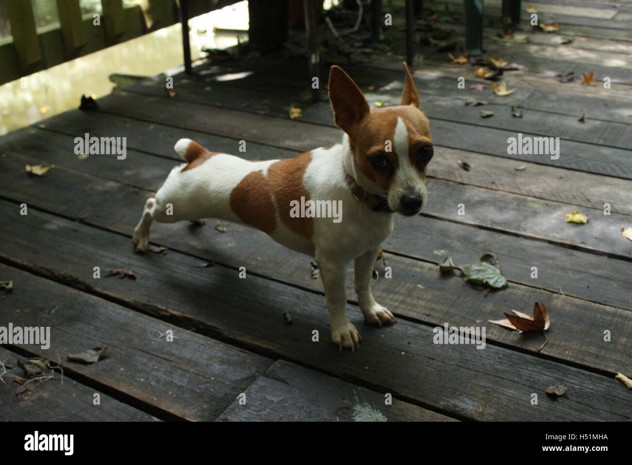 Stretching chihuahua dog on outdoor floorboards Stock Photo