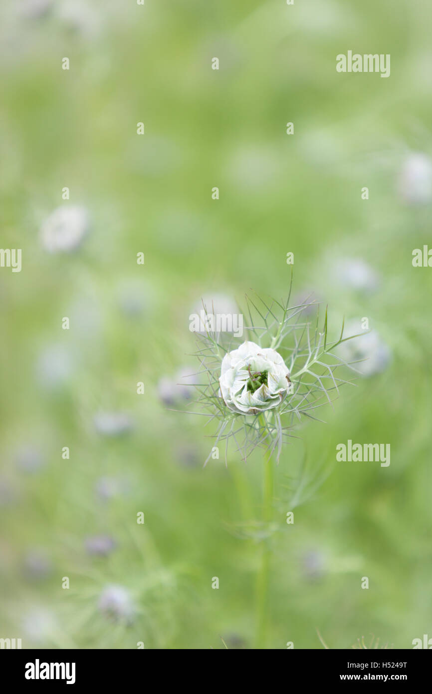 Love in the Mist flower with green bokeh in the garden in June in and English Country Garden - Stock Image