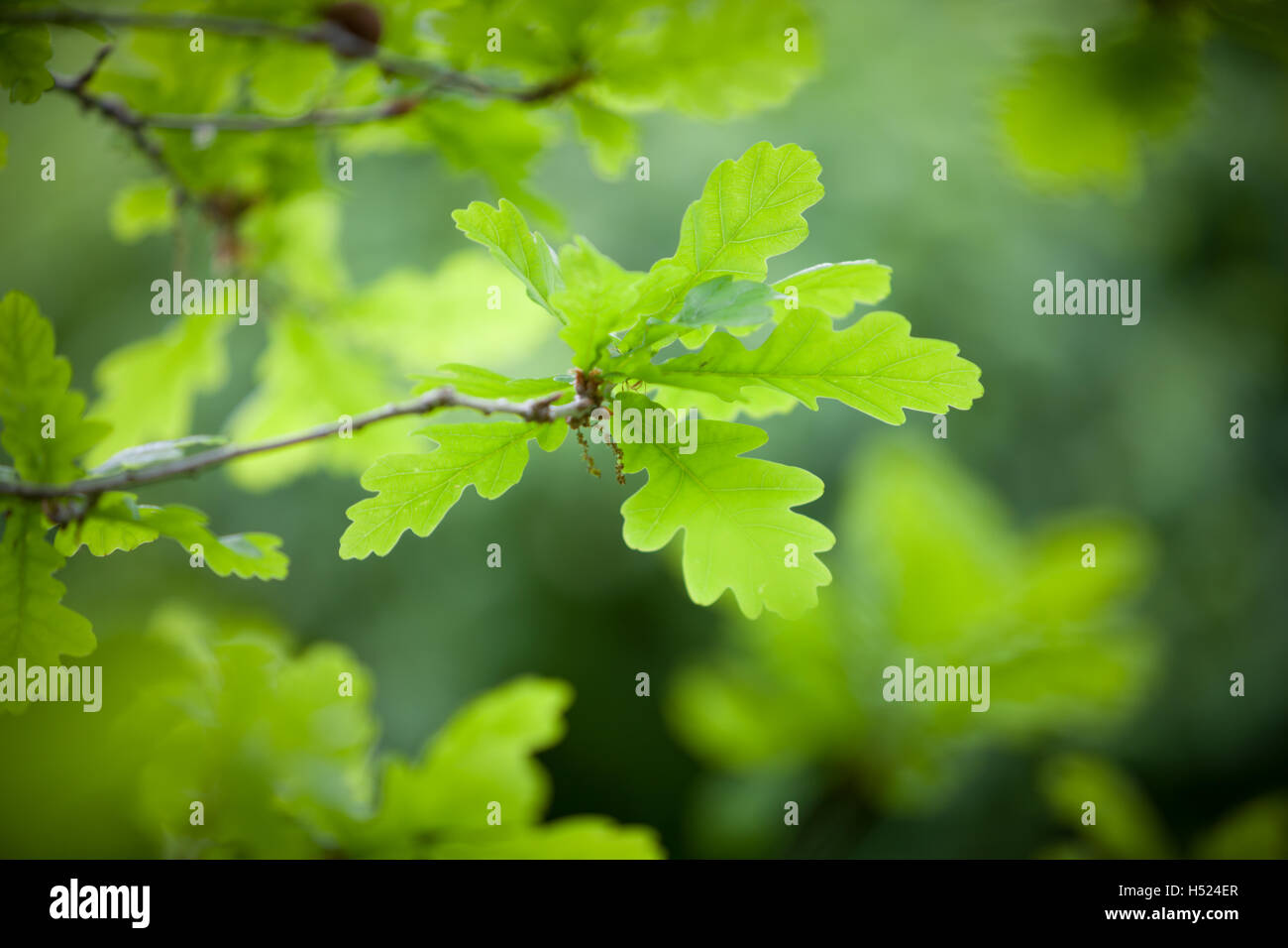 Young bright green oak leaves in Spring time - Stock Image