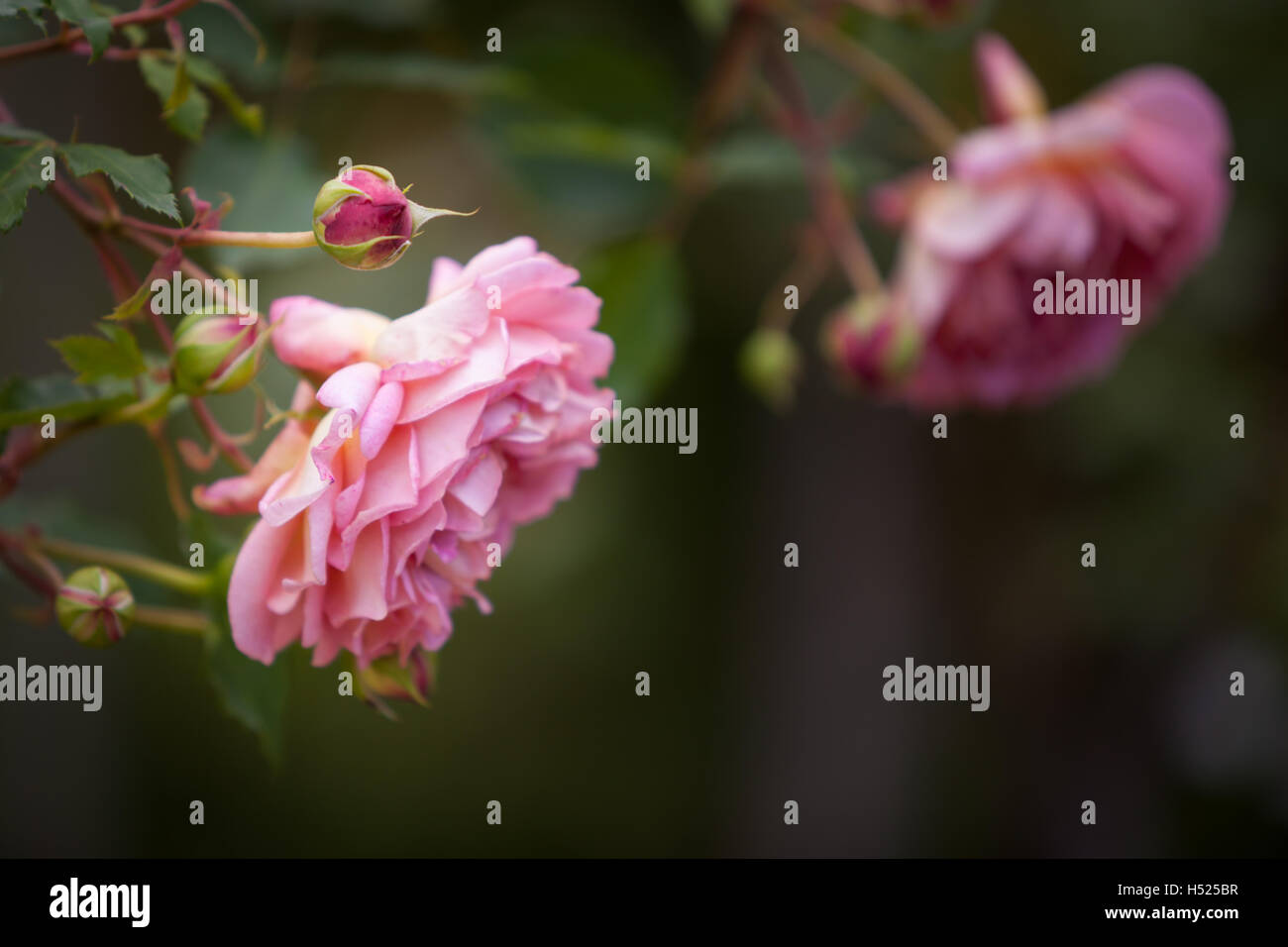 Pink rose in an English country garden in the summer time - Stock Image
