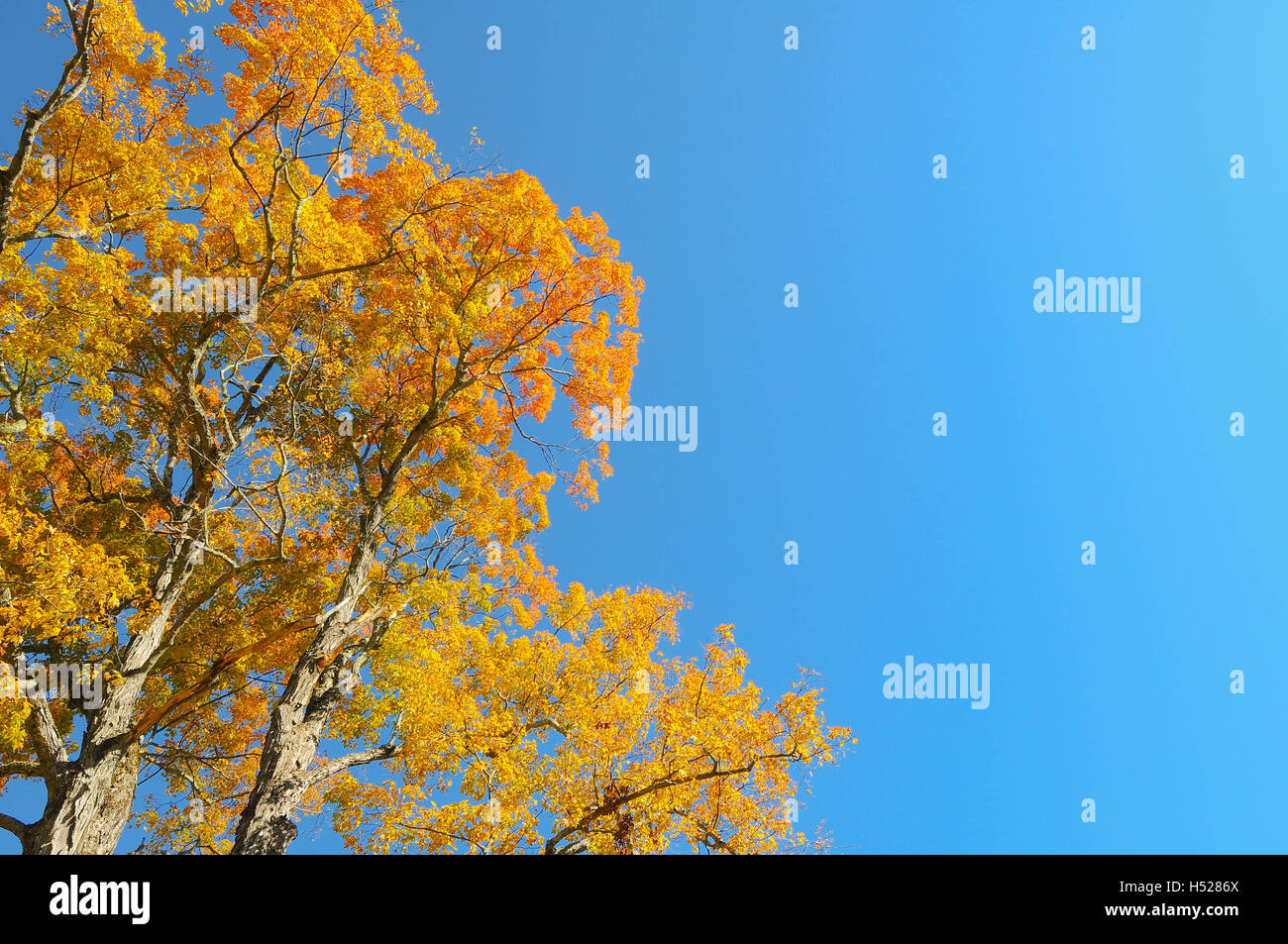 The top of a maple tree with yellow leaves against a clear, blue sky. - Stock Image