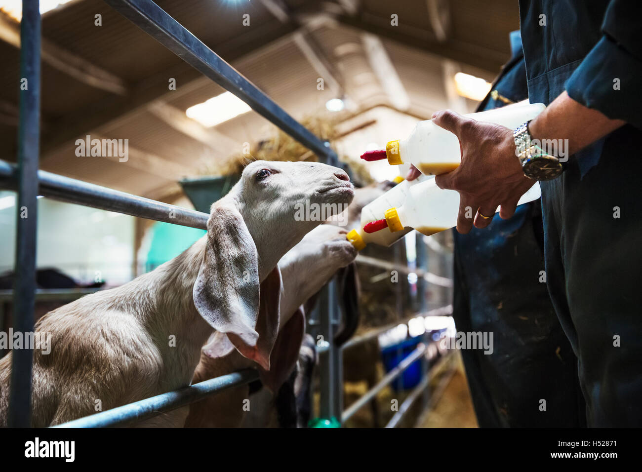 Close up of goats being bottle-fed in a stable. - Stock Image