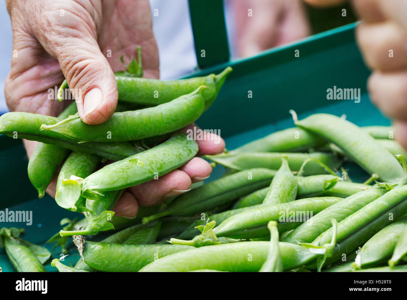 A person holding a handful of fresh picked garden pea pods. - Stock Image