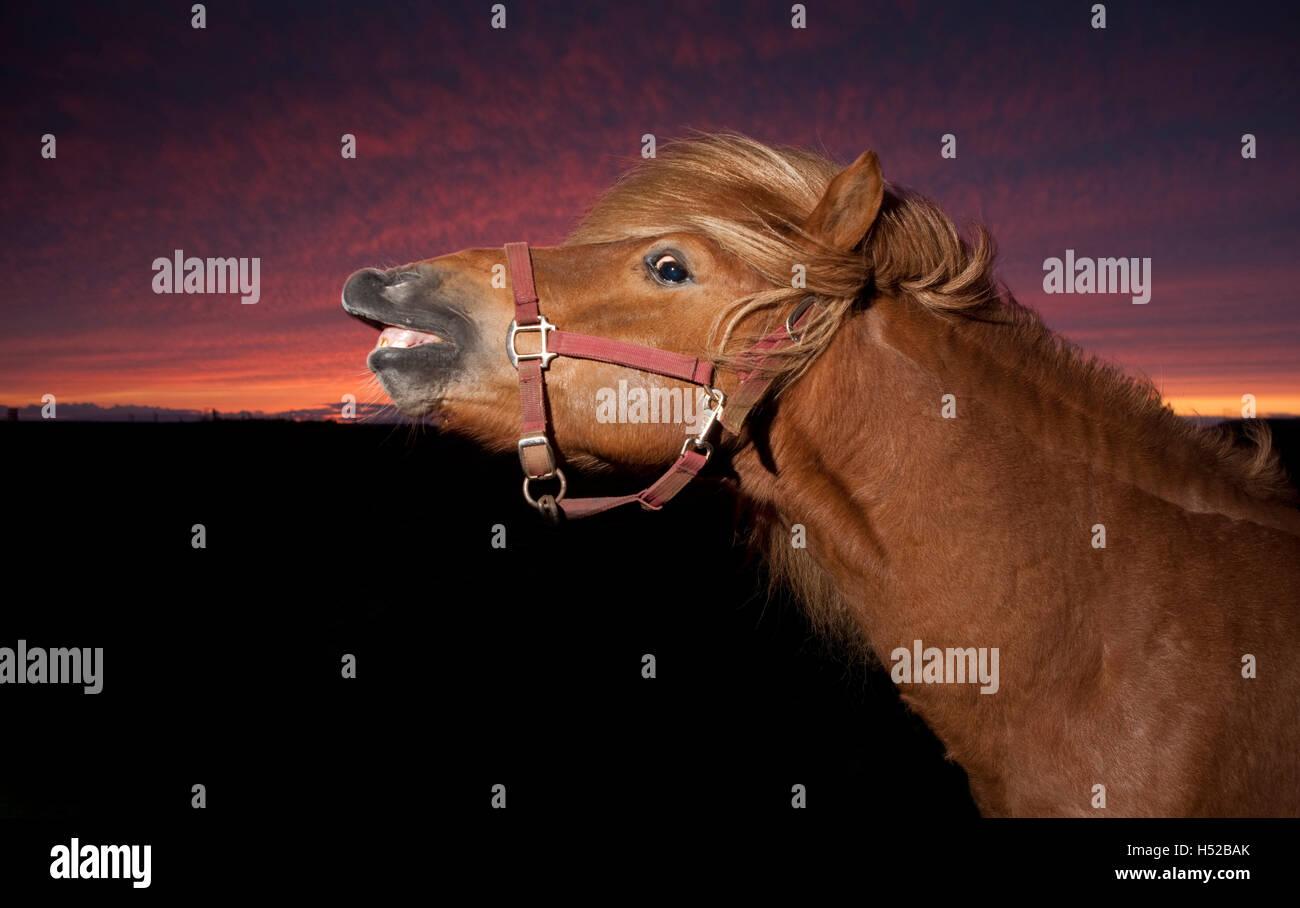 Icelandic horse at sunset, Iceland - Stock Image