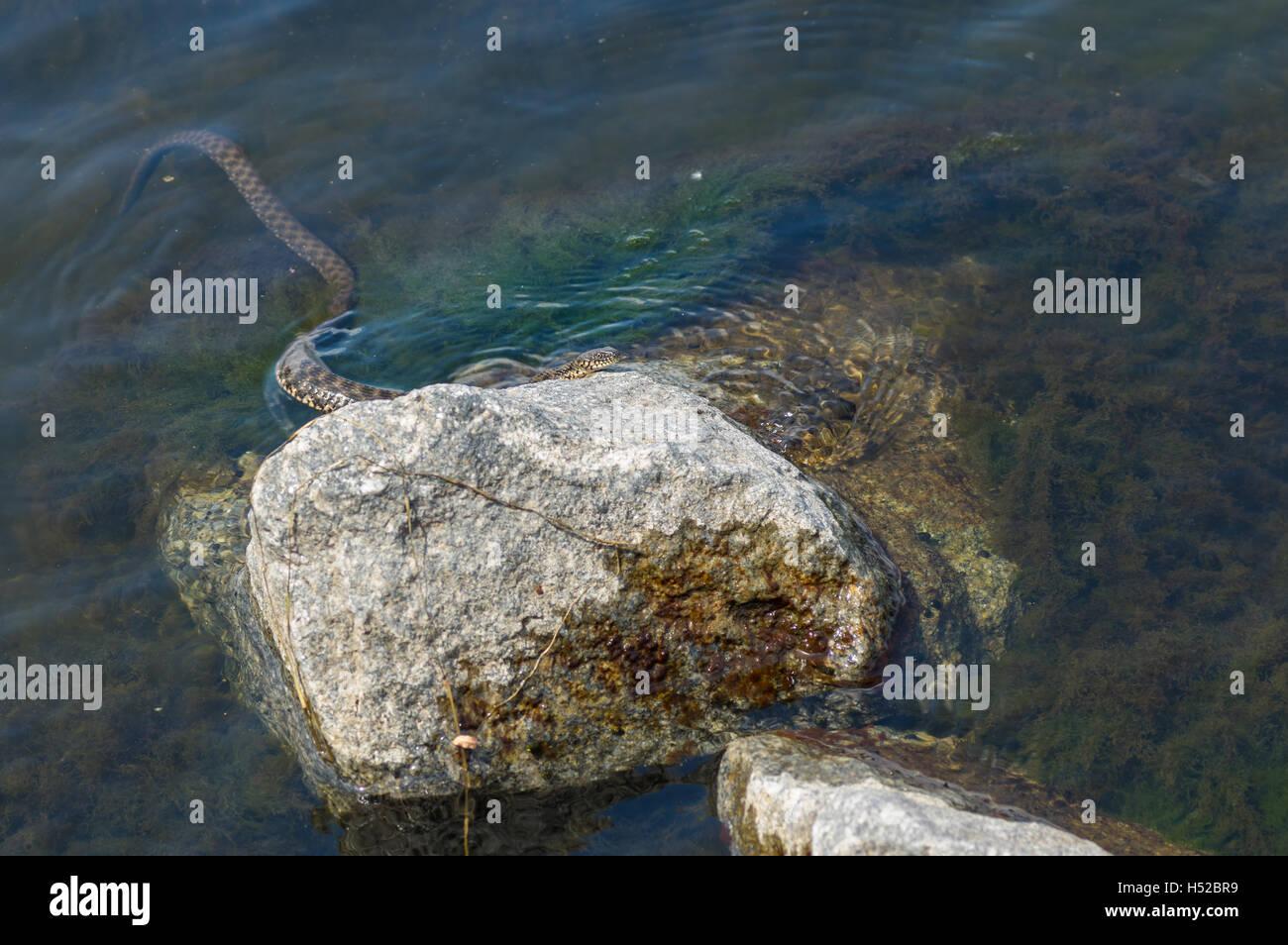 Dice snake (Natrix tessellata) hiding in Dnepr river on a riverside stone - Stock Image