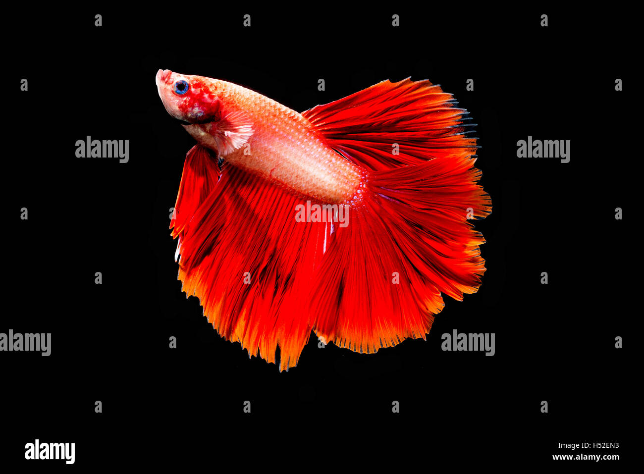 Red Betta Fish isolated black background Stock Photo