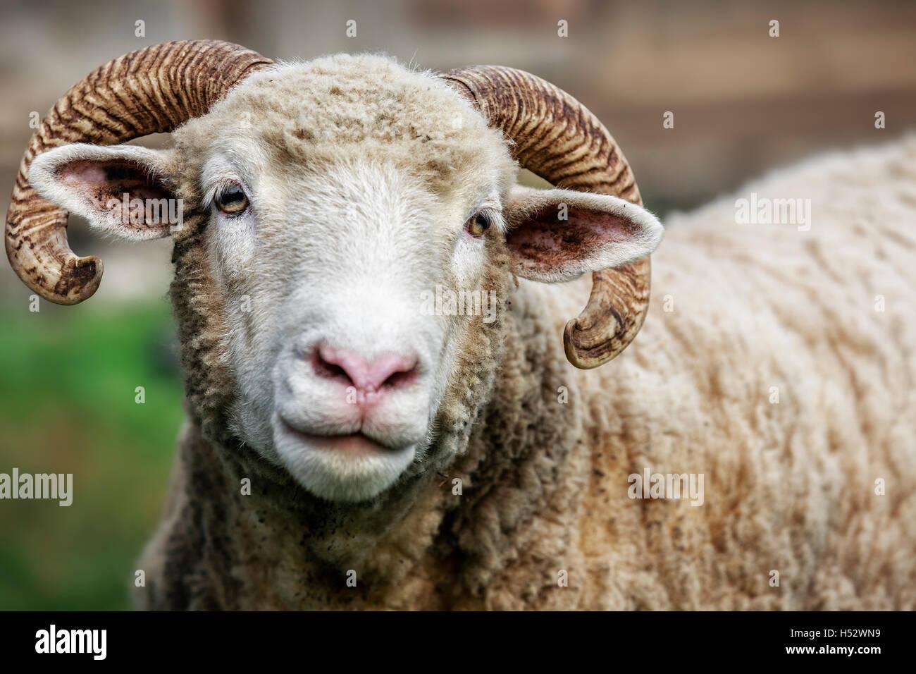 Shetland Sheep, close up - Stock Image