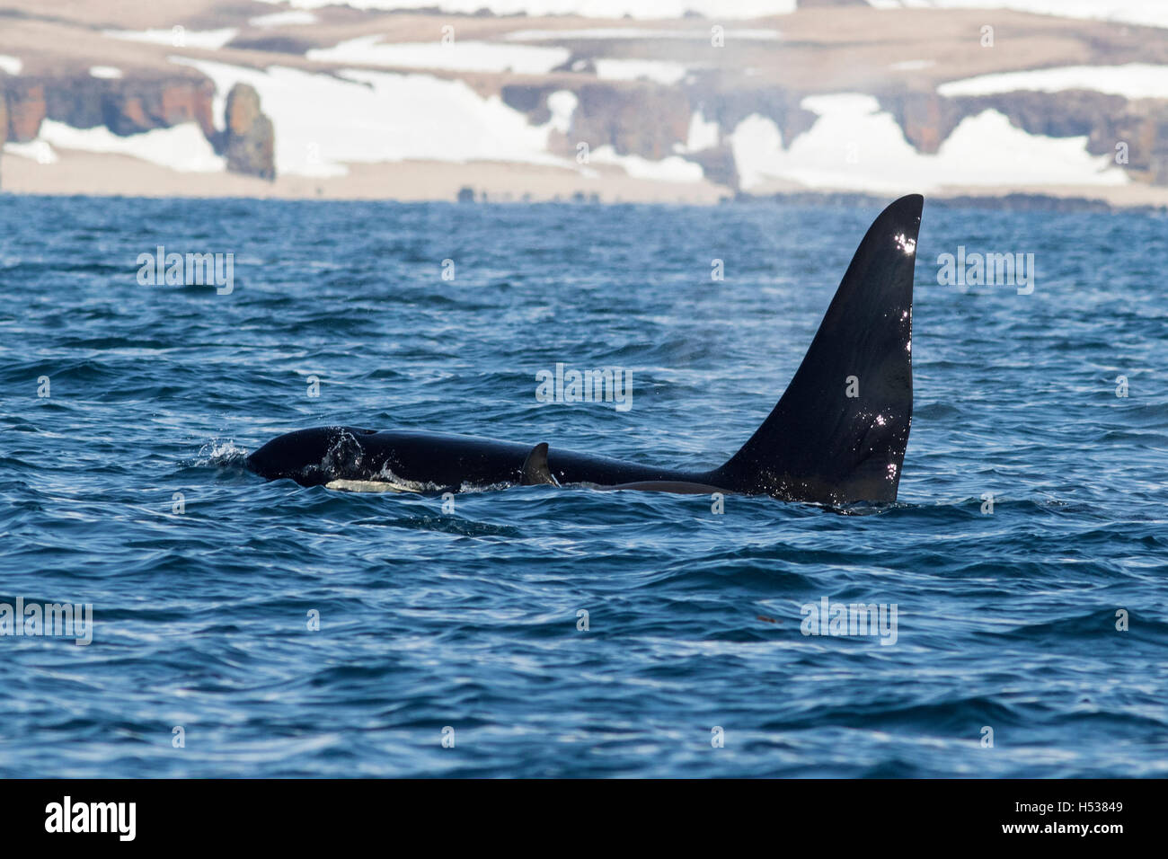 killer whales swim along the shore of the Bering Island - Stock Image