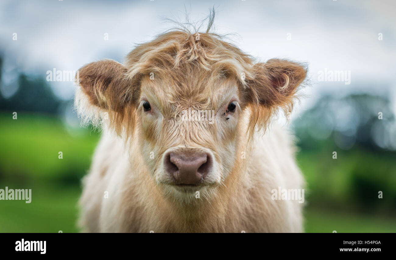 A calf of Highland cattle in a  green field shot close up and with a shallow depth of field. Stock Photo