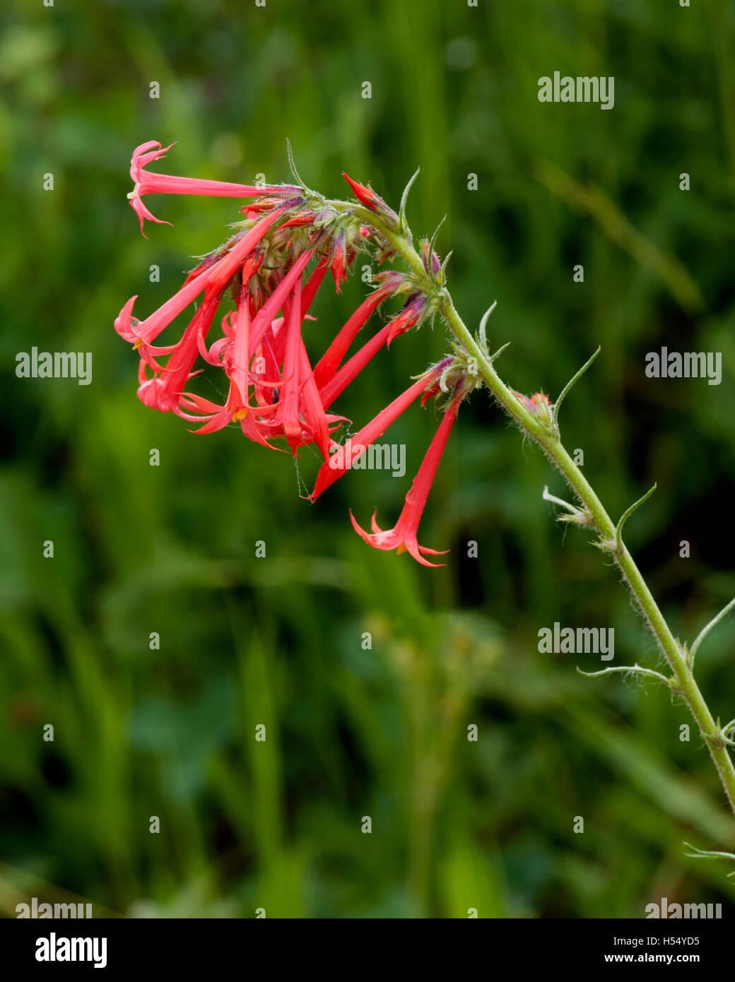 Scarlet Gilia aka Fairy Trumpet (Ipomopsis aggregata) - Stock Image