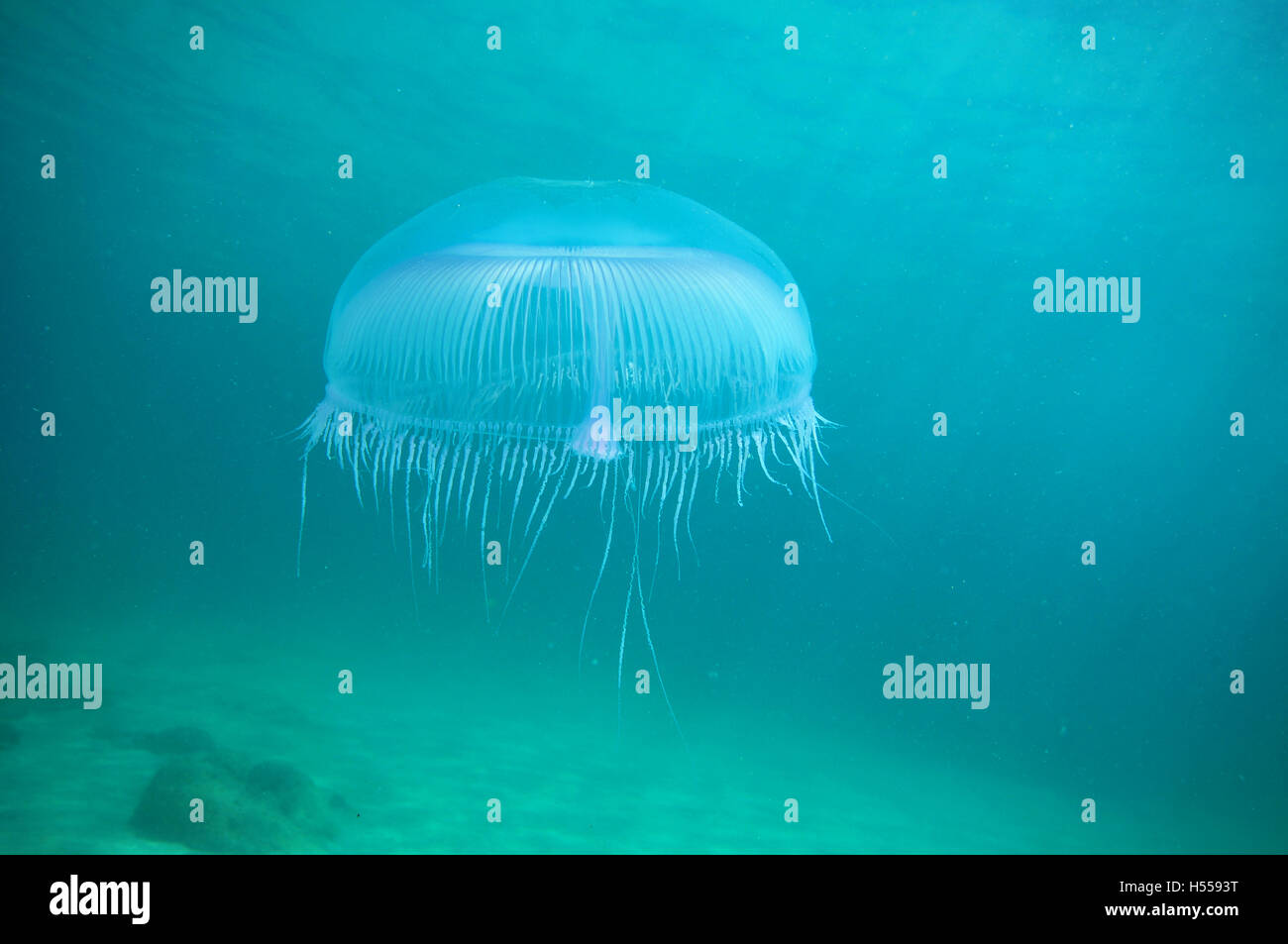 Jellyfish above flat sandy bottom - Stock Image