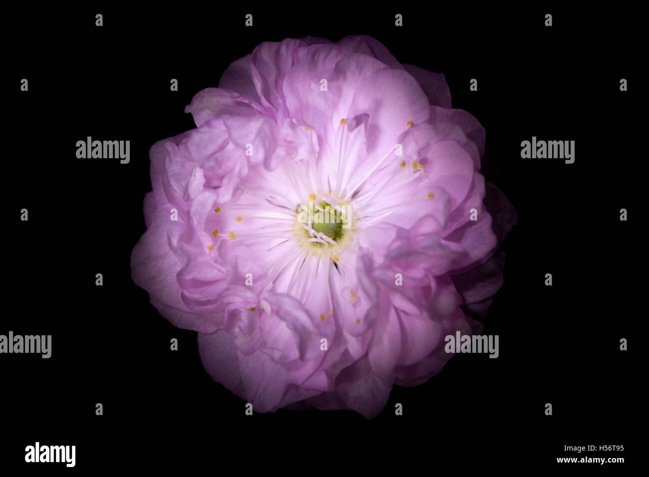 Pink Flower With Round Petals Like Petunia Isolated On Black Stock