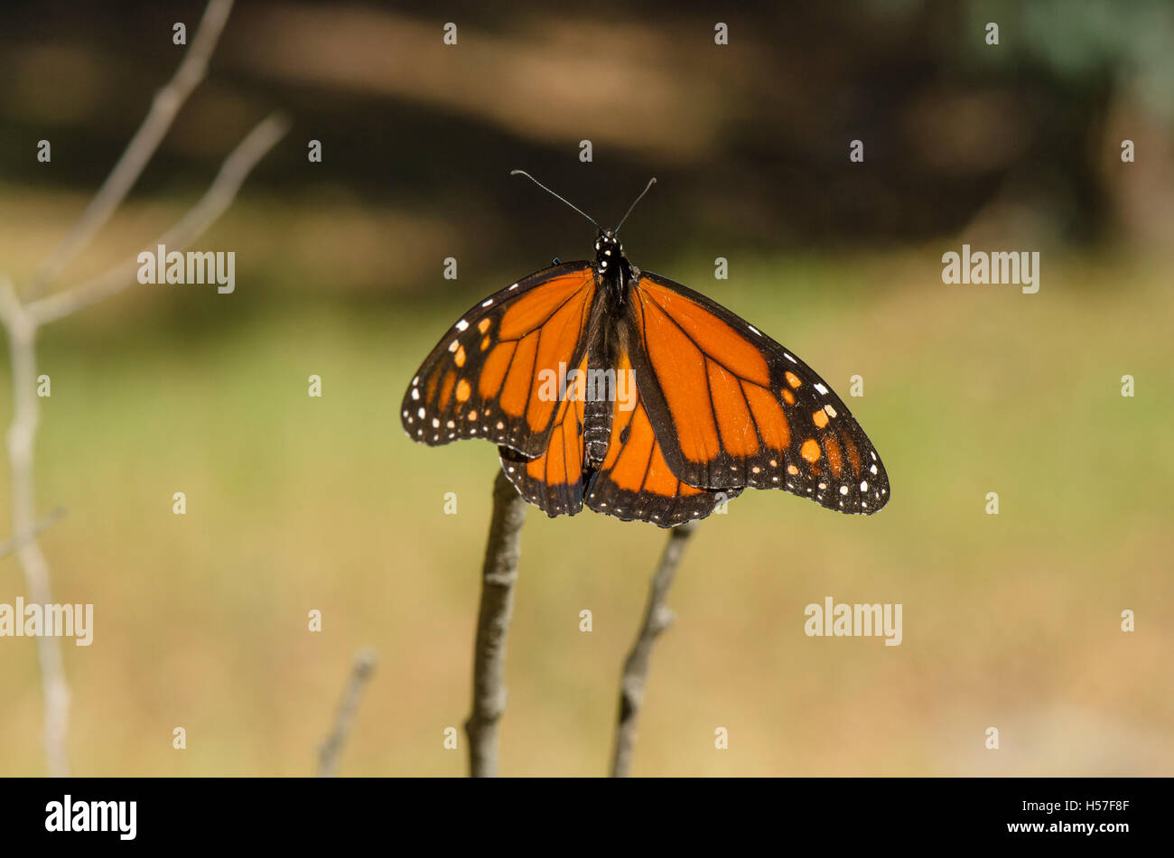 The Black Veined Brown Butterfly Stock Photos & The Black Veined ...