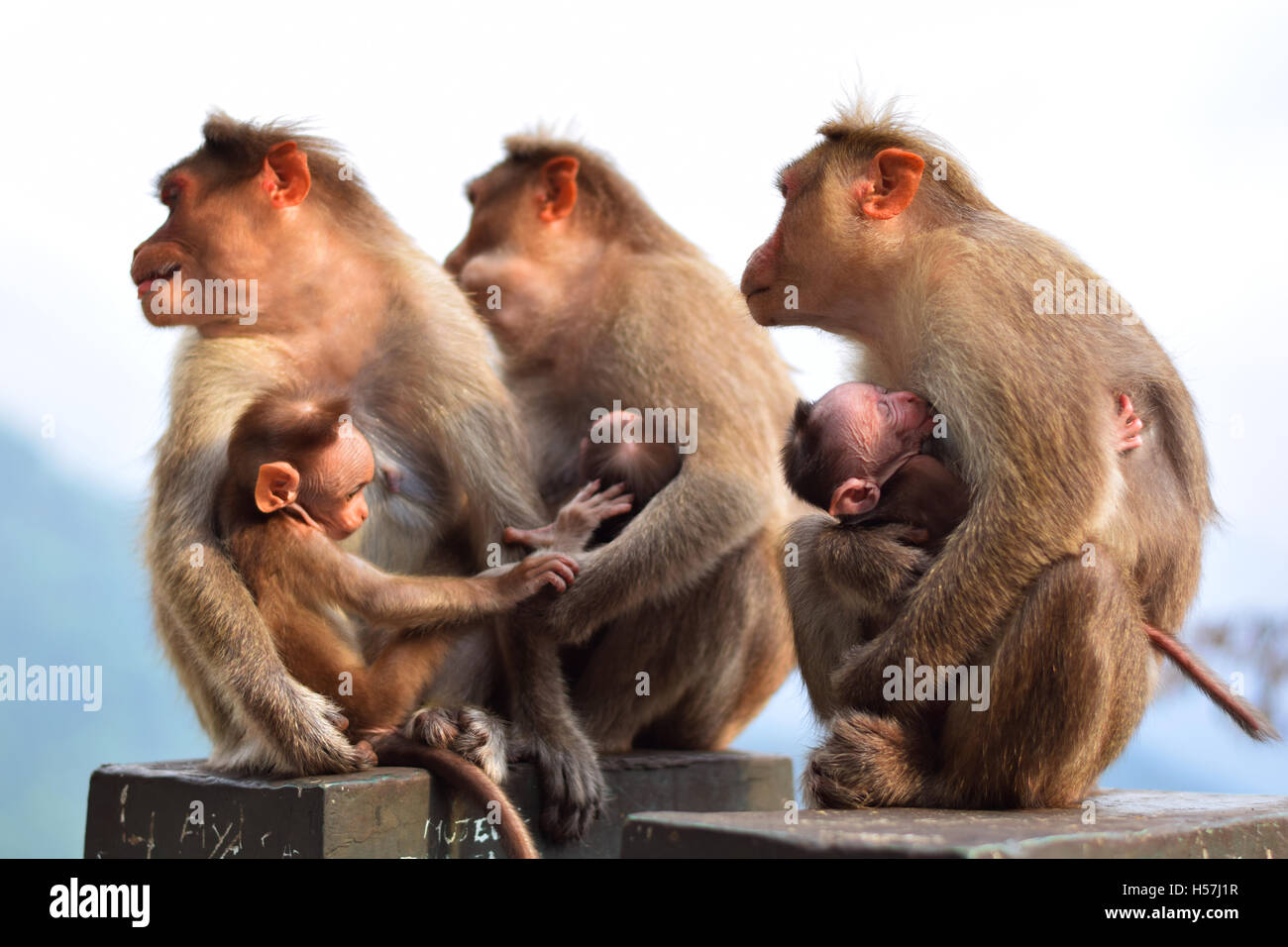 Three Monkeys with newborns all are facing left - Stock Image