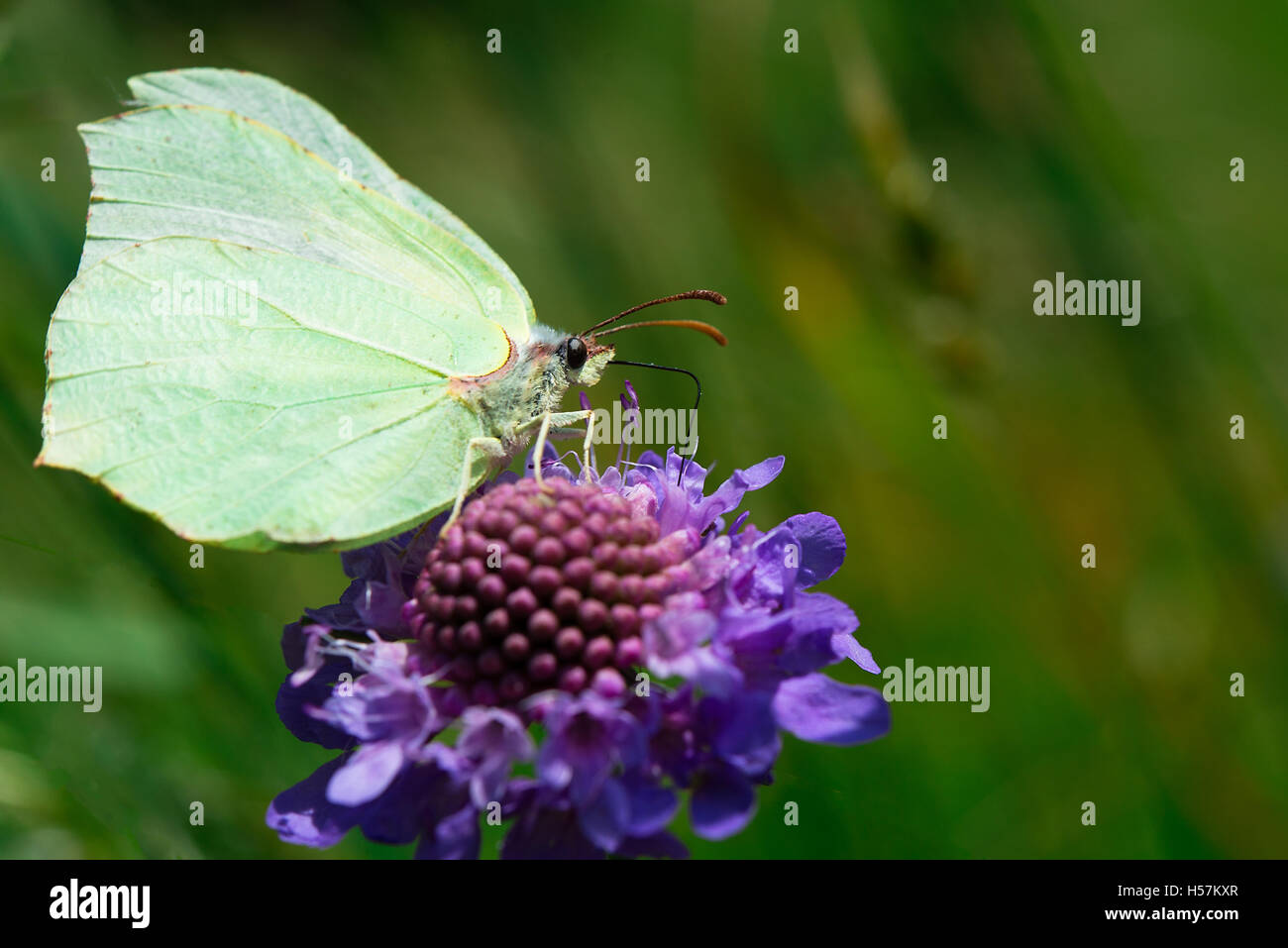 The butterfly is sucking nectar from flower - Stock Image