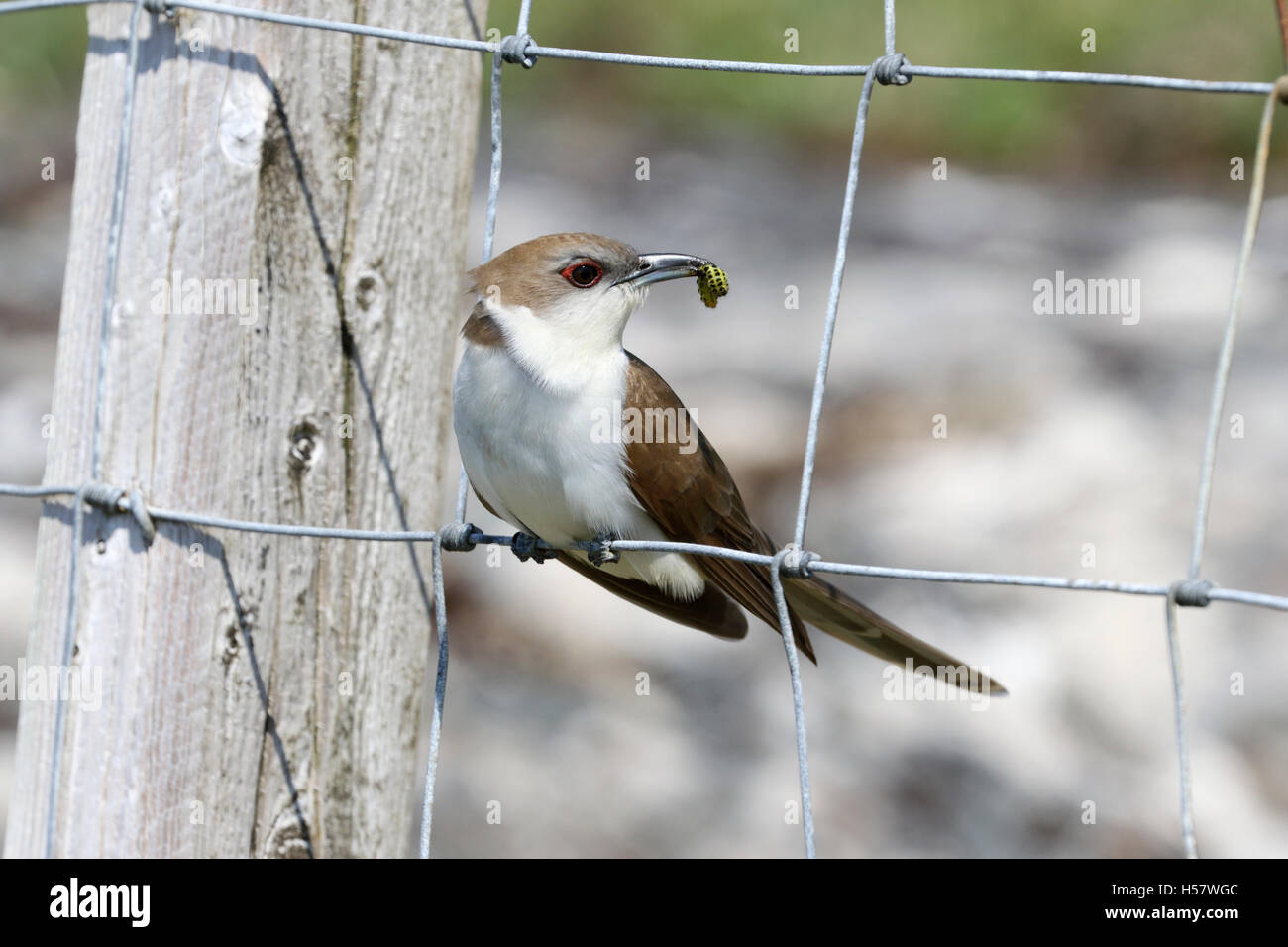 Black Billed Cuckoo Coccyzus Erythropthalmus Photographed In The Bayhead Paiblesgarry Area Isle Of