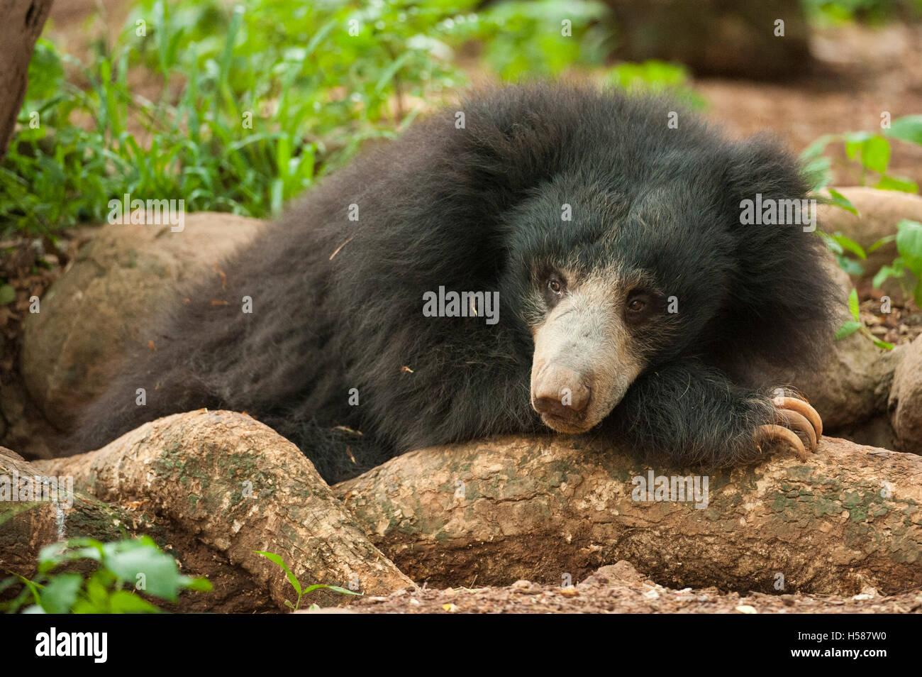 Sloth bear (Melursus ursinus), Sri Lanka - Stock Image