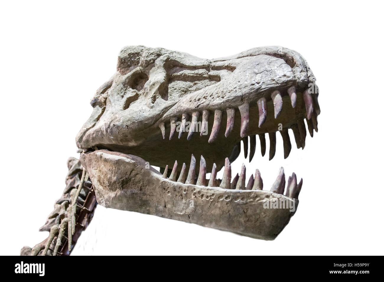 Tyrannosaurus Rex skull isolated over white background - Stock Image