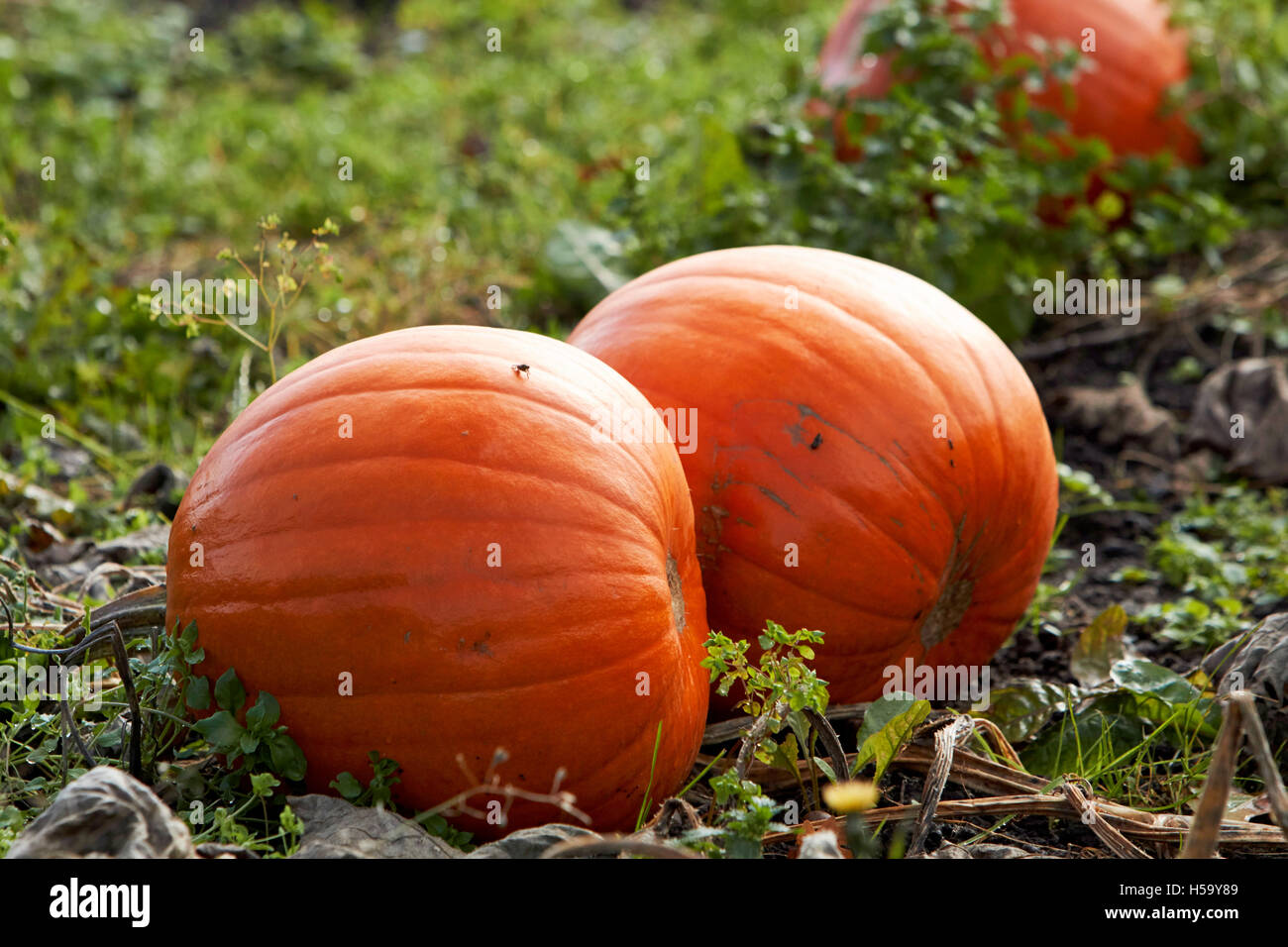 pumpkins growing in a pumpkin patch field in shropshire england ready for halloween - Stock Image