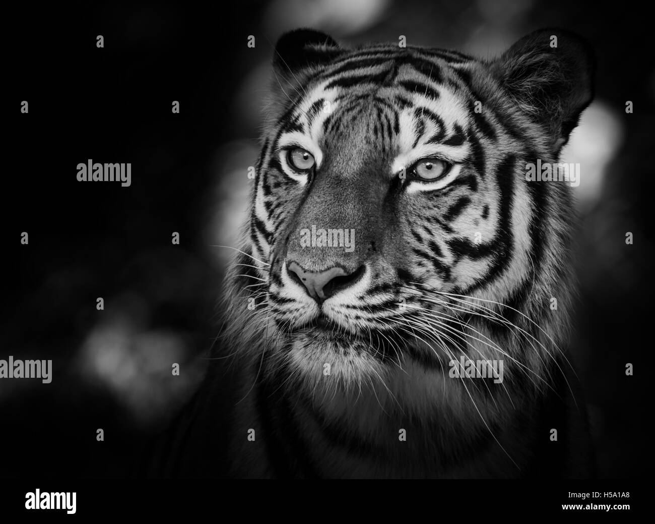 Portrait of a siberian tiger (Panthera tigris altaica) in black and white - Stock Image