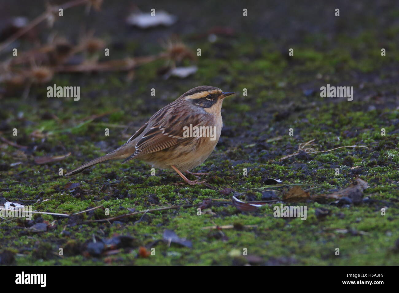 Siberian Accentor - Stock Image
