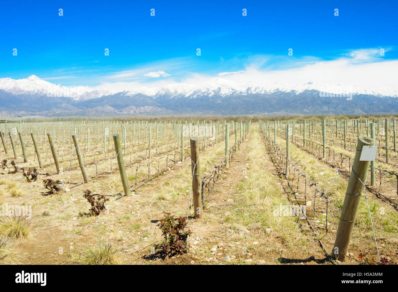 Vineyard and the Andes mountains in the Uco Valley, Mendosa Region, Argentina - Stock Image